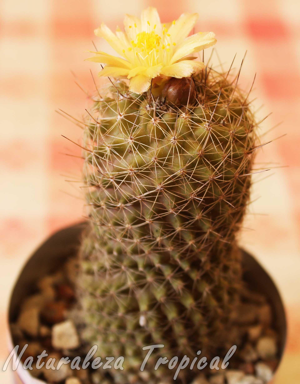 Vista del cactus Copiapoa humilis spp. tocopillana