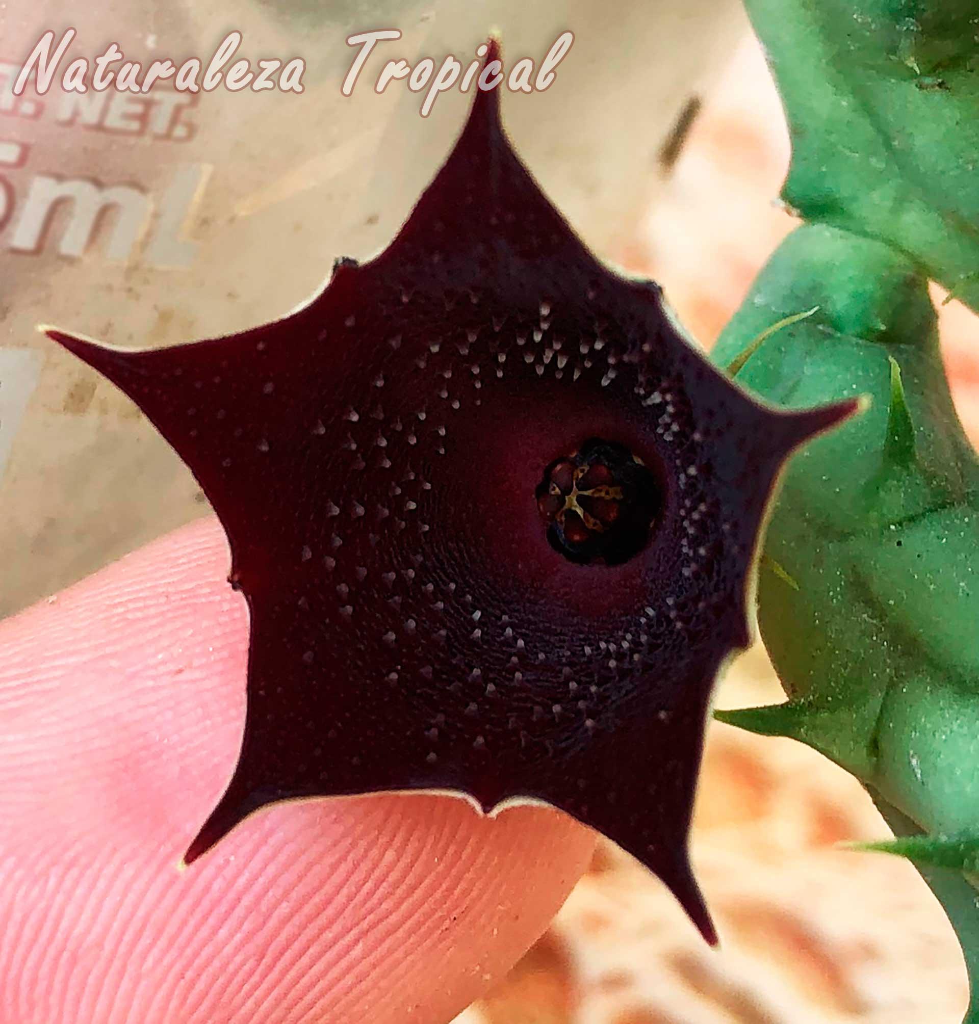 Otra imagen de la flor de la planta suculenta Huernia keniensis