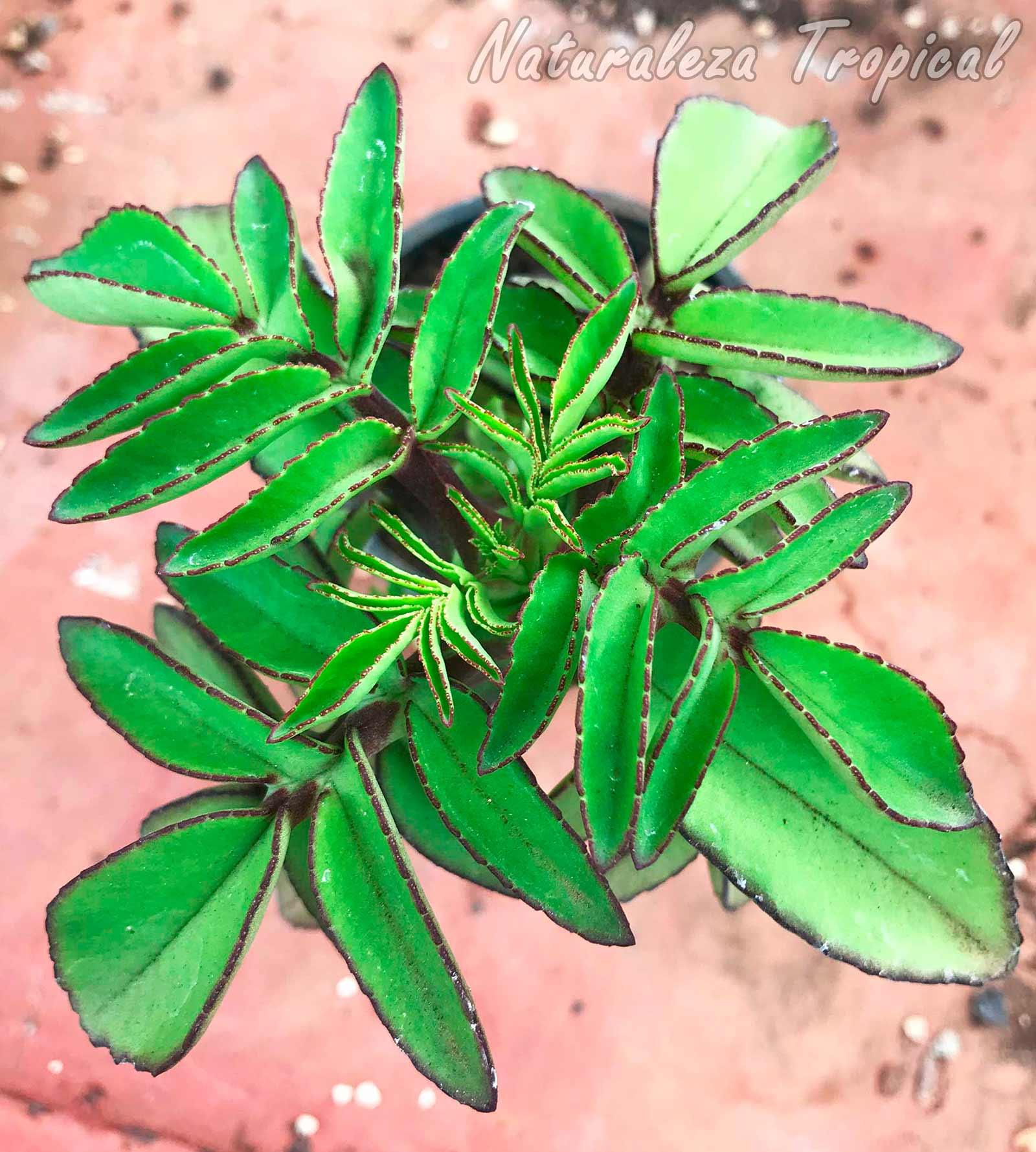 Vista de la planta suculenta Kalanchoe prolifera