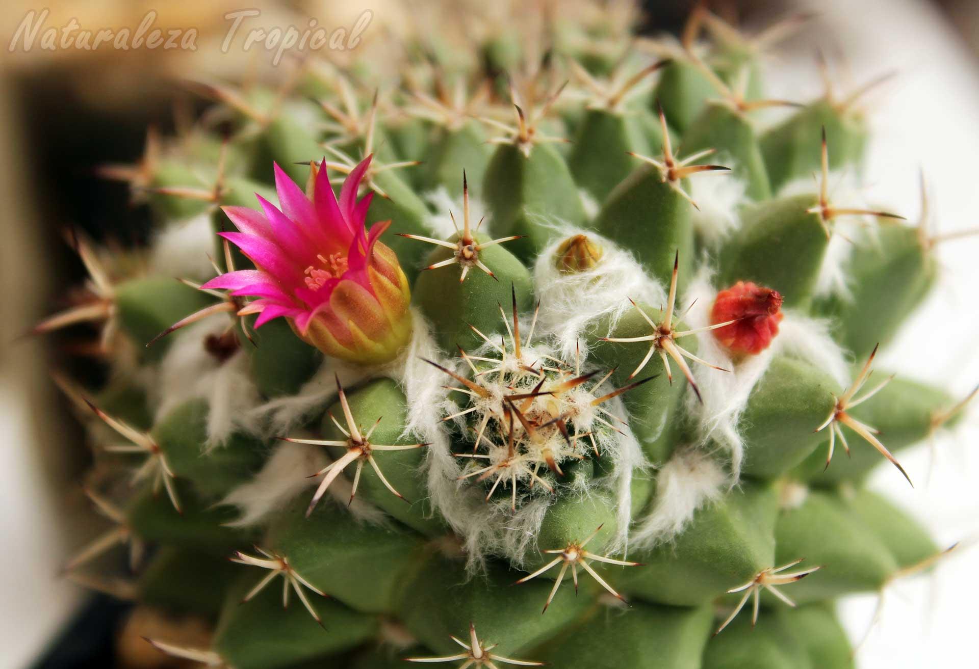 Flor e hijuelo en el cactus Biznaga de Chilitos, Mammillaria magnimamma