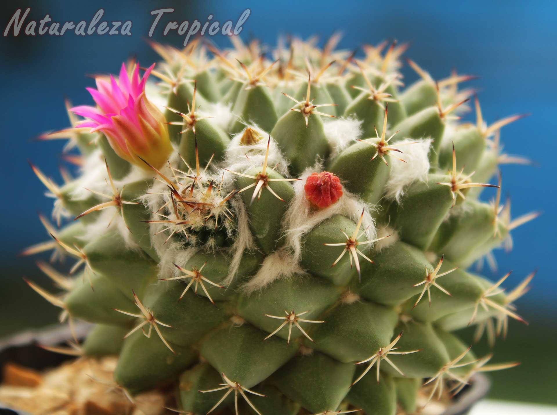 Vista del tallo del cactus Biznaga de Chilitos, Mammillaria magnimamma