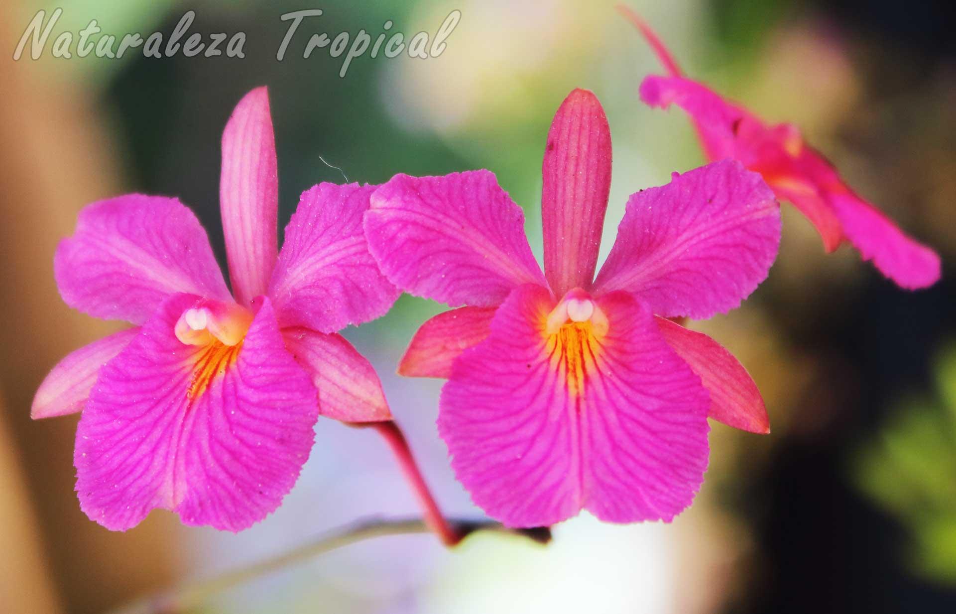 Otra imagen de las flores de la orquídea Broughtonia sanguinea