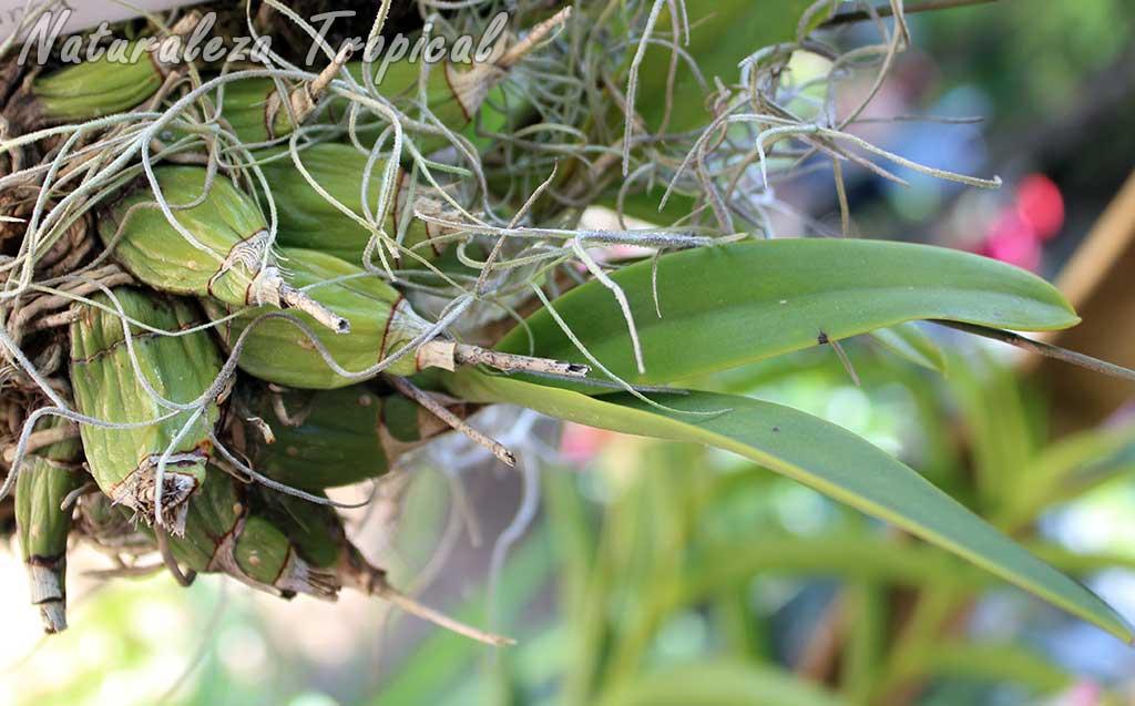Pseudobulbos de la orquídea Broughtonia sanguinea