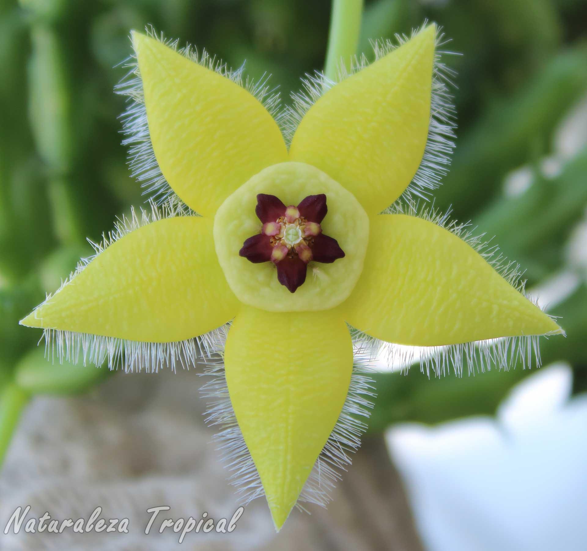 Otra imagen de la flor de la planta suculenta Orbea semota var. lutea