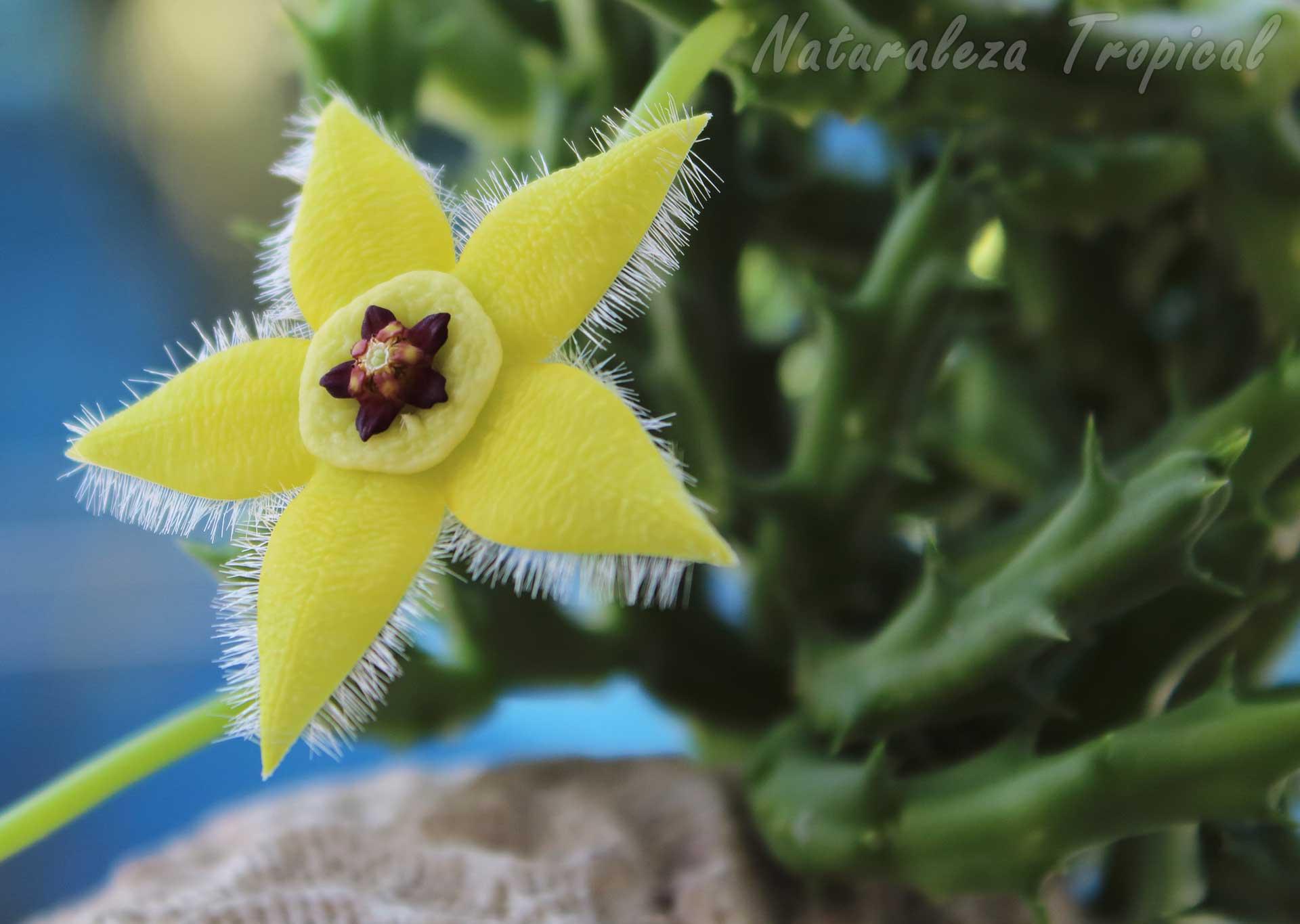 Flor y tallos de la planta suculenta Orbea semota var. lutea