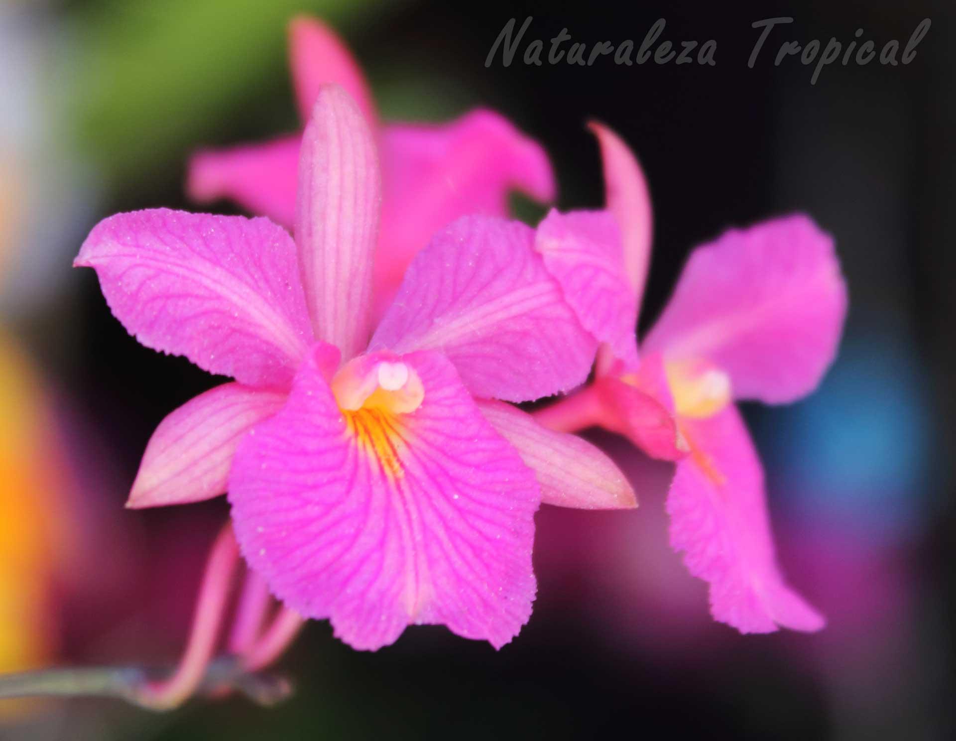 Flor típica de la orquídea Broughtonia sanguinea