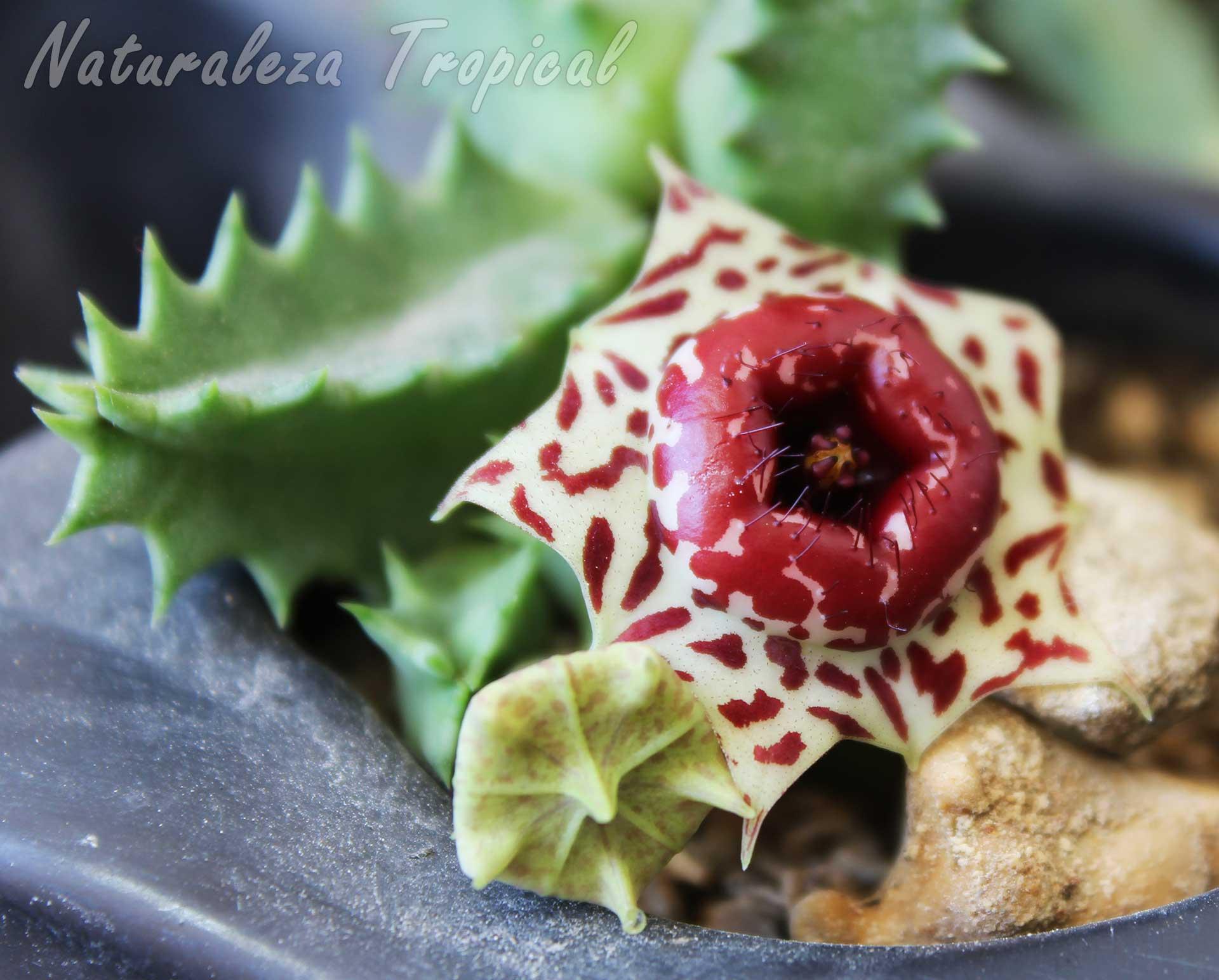 Vista de tallos y flor de la maravillosa planta suculenta Huernia plowesii
