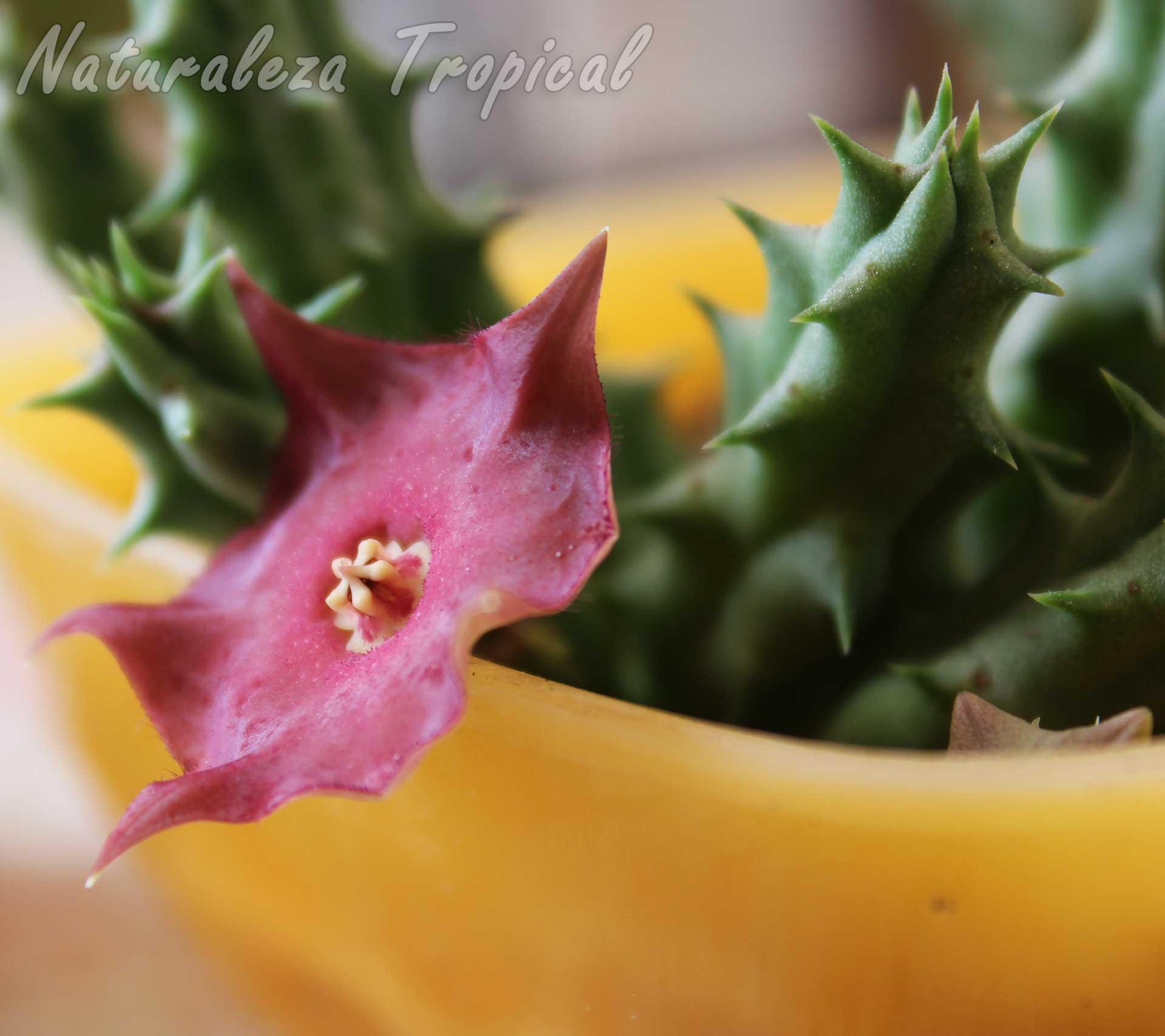 Otra imagen de la flor de la planta suculenta híbrida Huernia ᶦRaspberry Tartᶦ