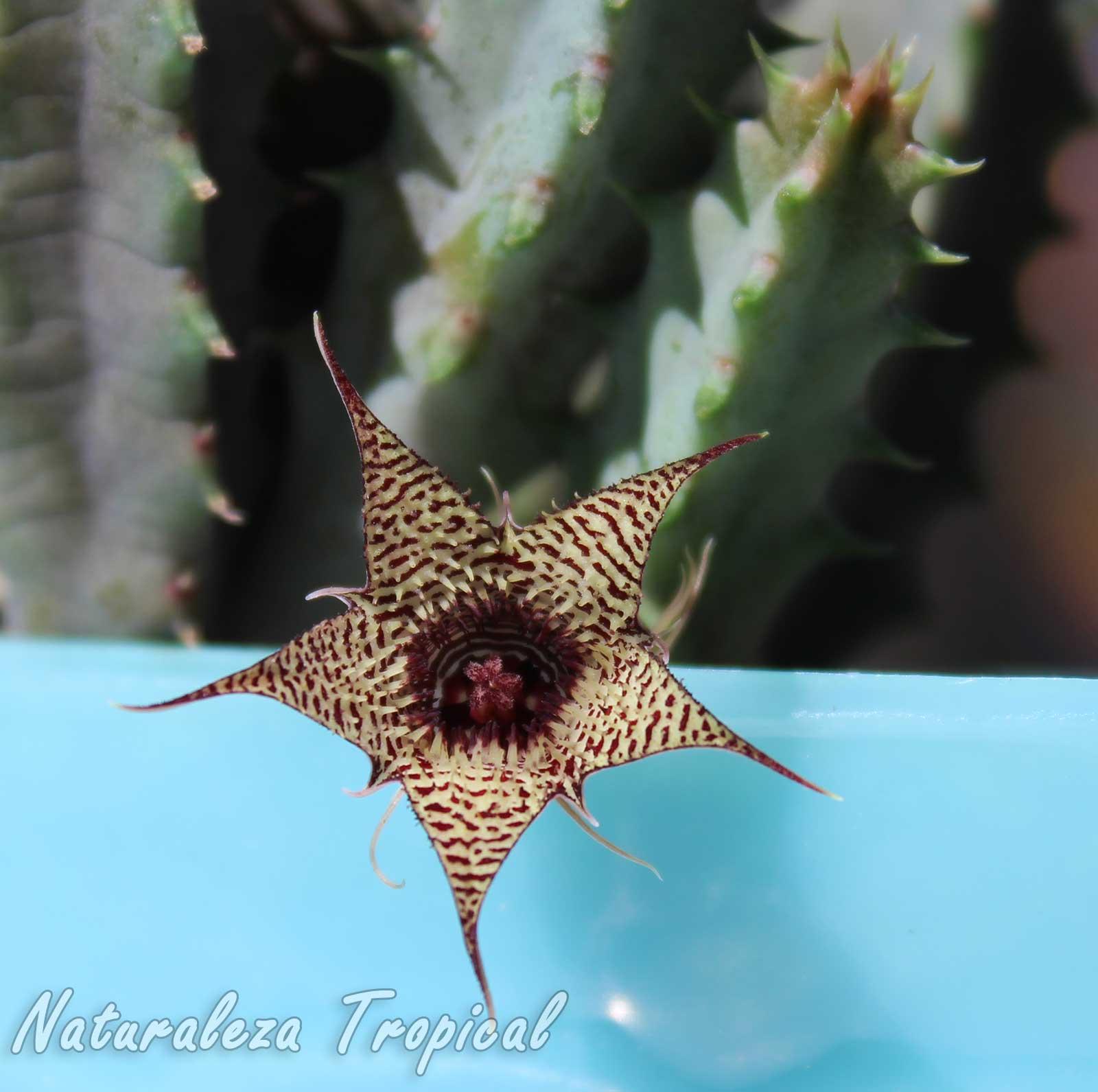 Flor y tallos de la planta suculenta Huernia stapelioides