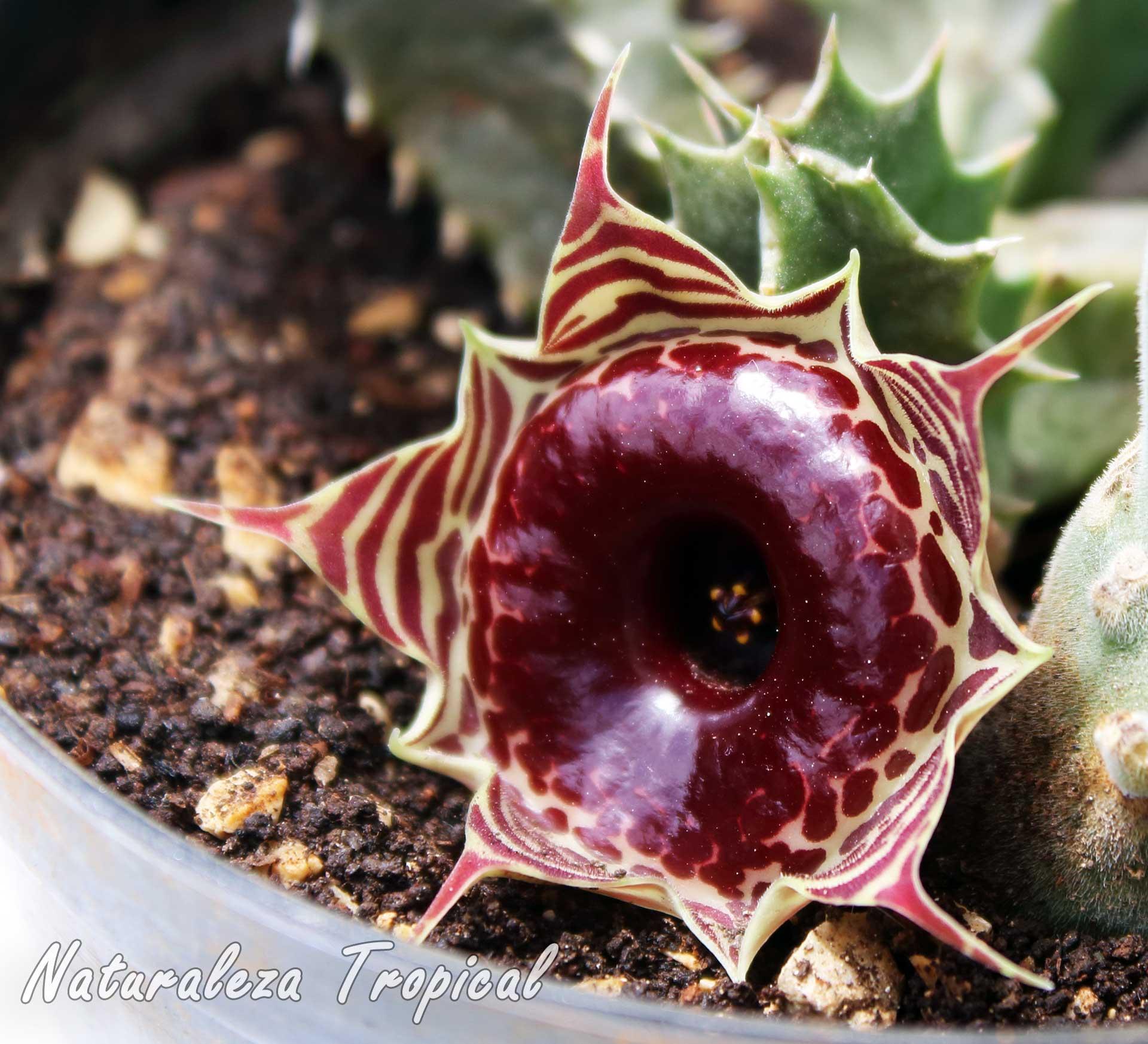 Flor de la planta suculenta Huernia zebrina subsp. magniflora