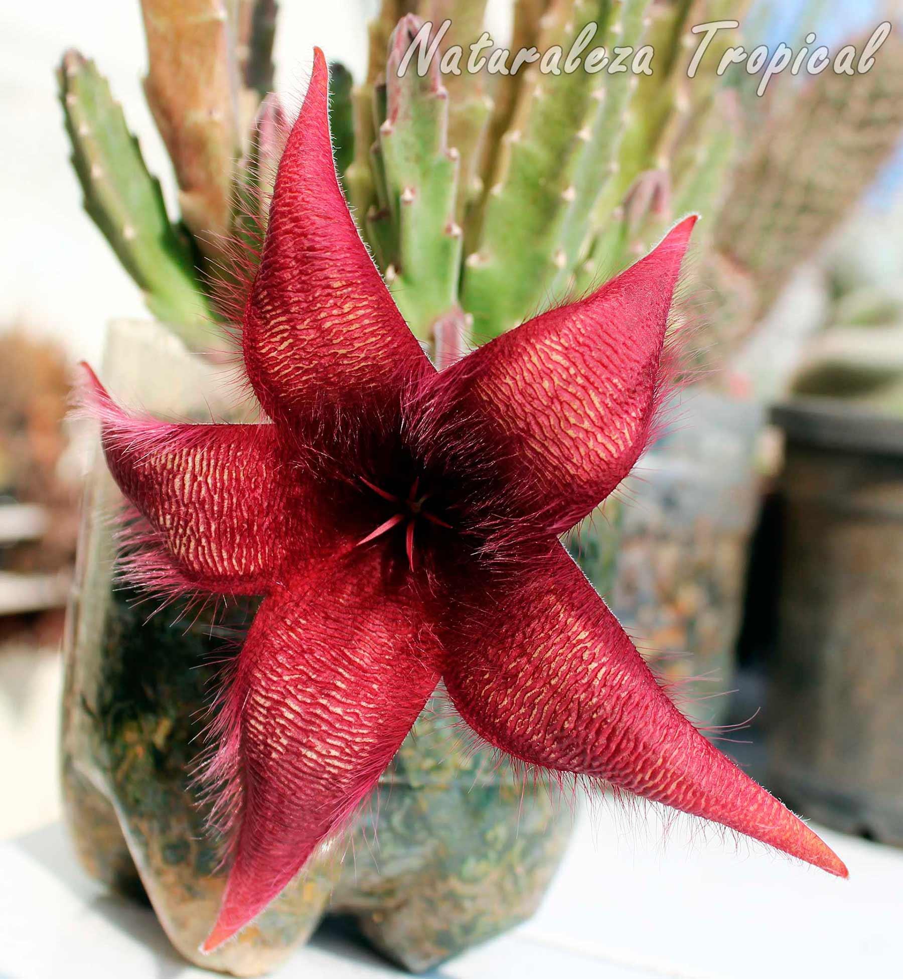 Vista de la flor característica del posible híbrido de la planta suculenta Stapelia hirsuta