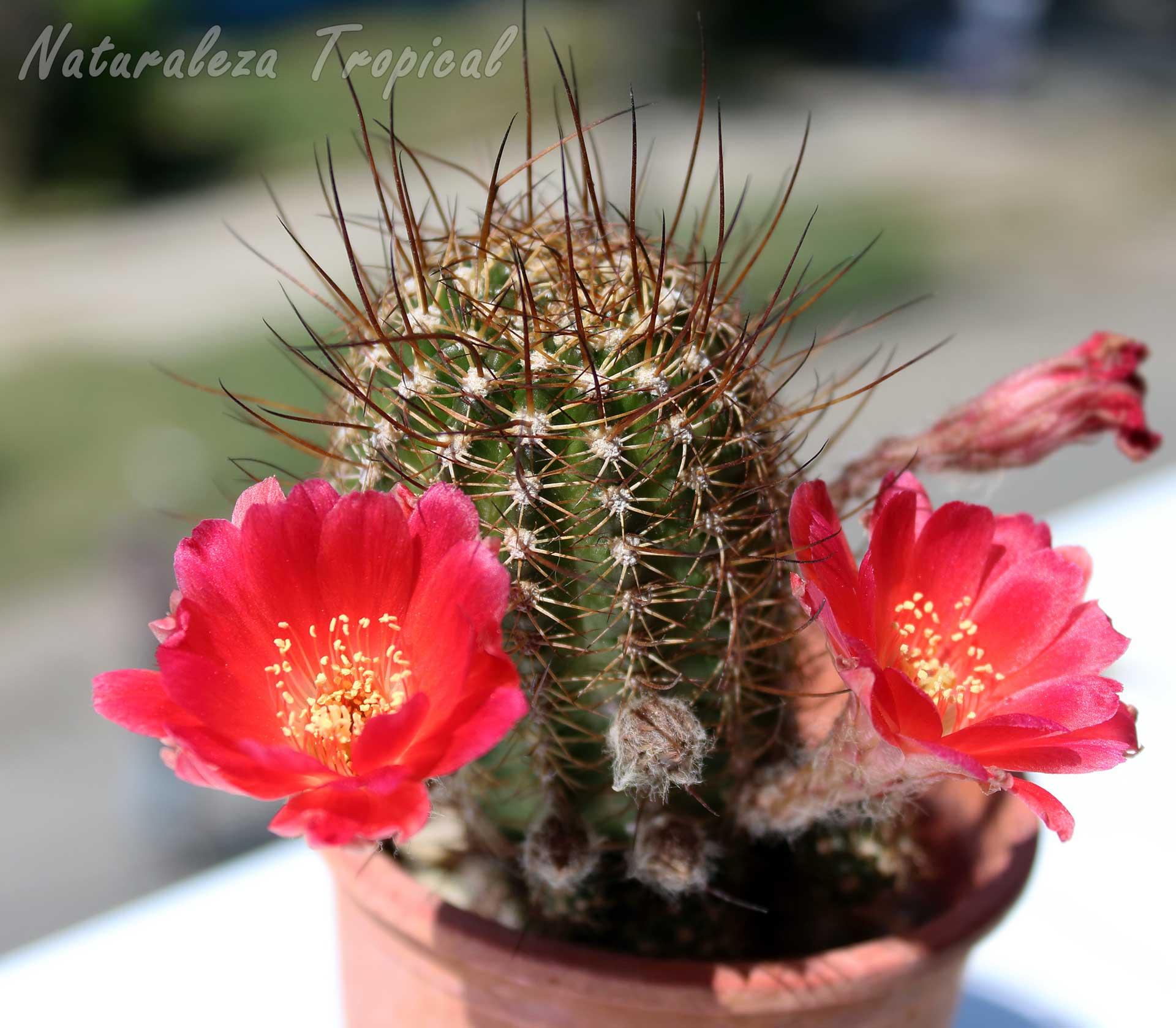 Fotografía de un hermoso cactus en floración