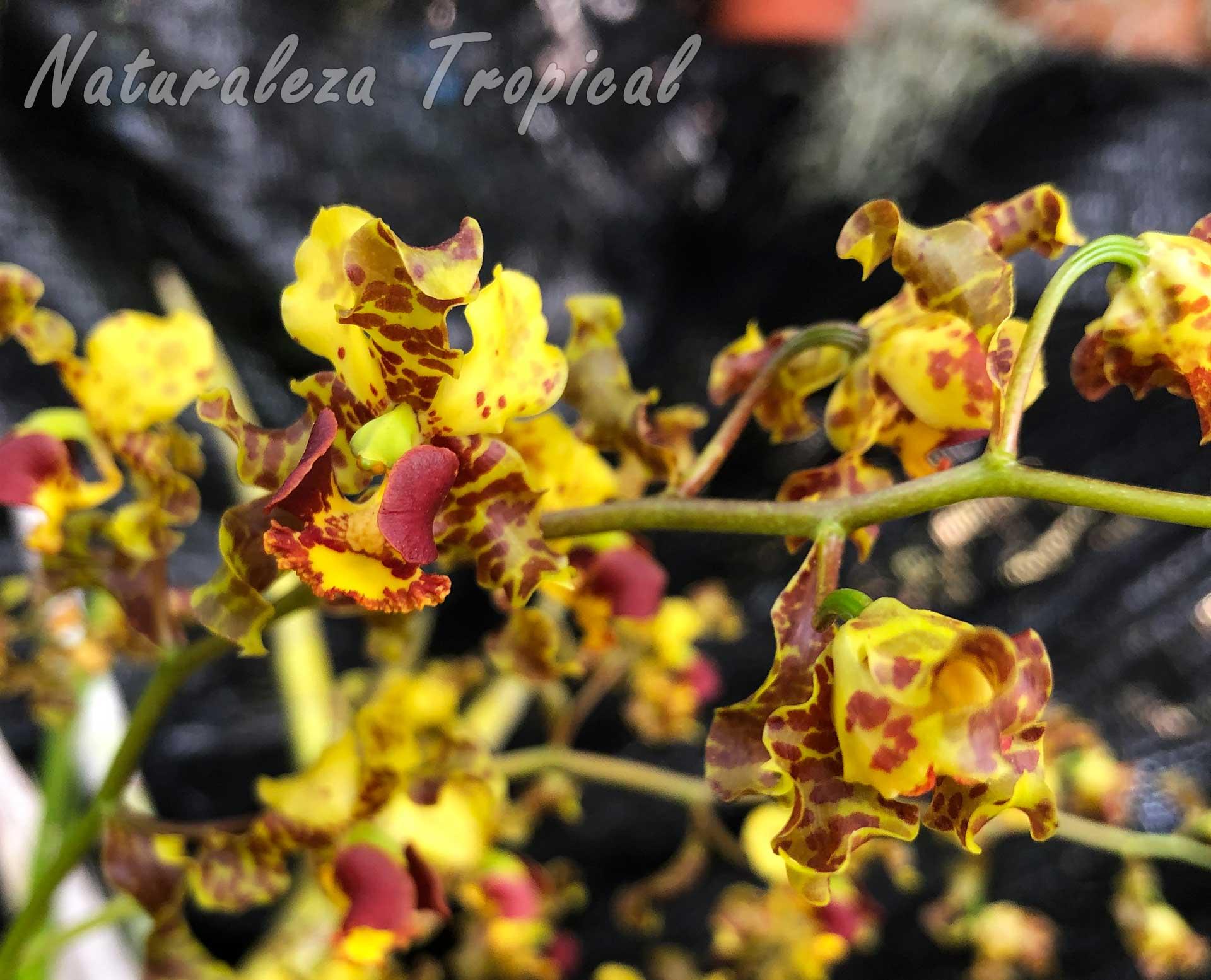 Flores características de la orquídea conocida como Cañuela, Cyrtopodium punctatum