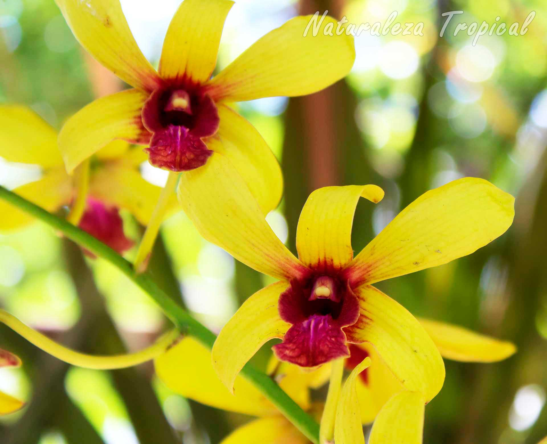 Flores distintivas de la orquídea Dendrobium ᶦThongchai Goldᶦ