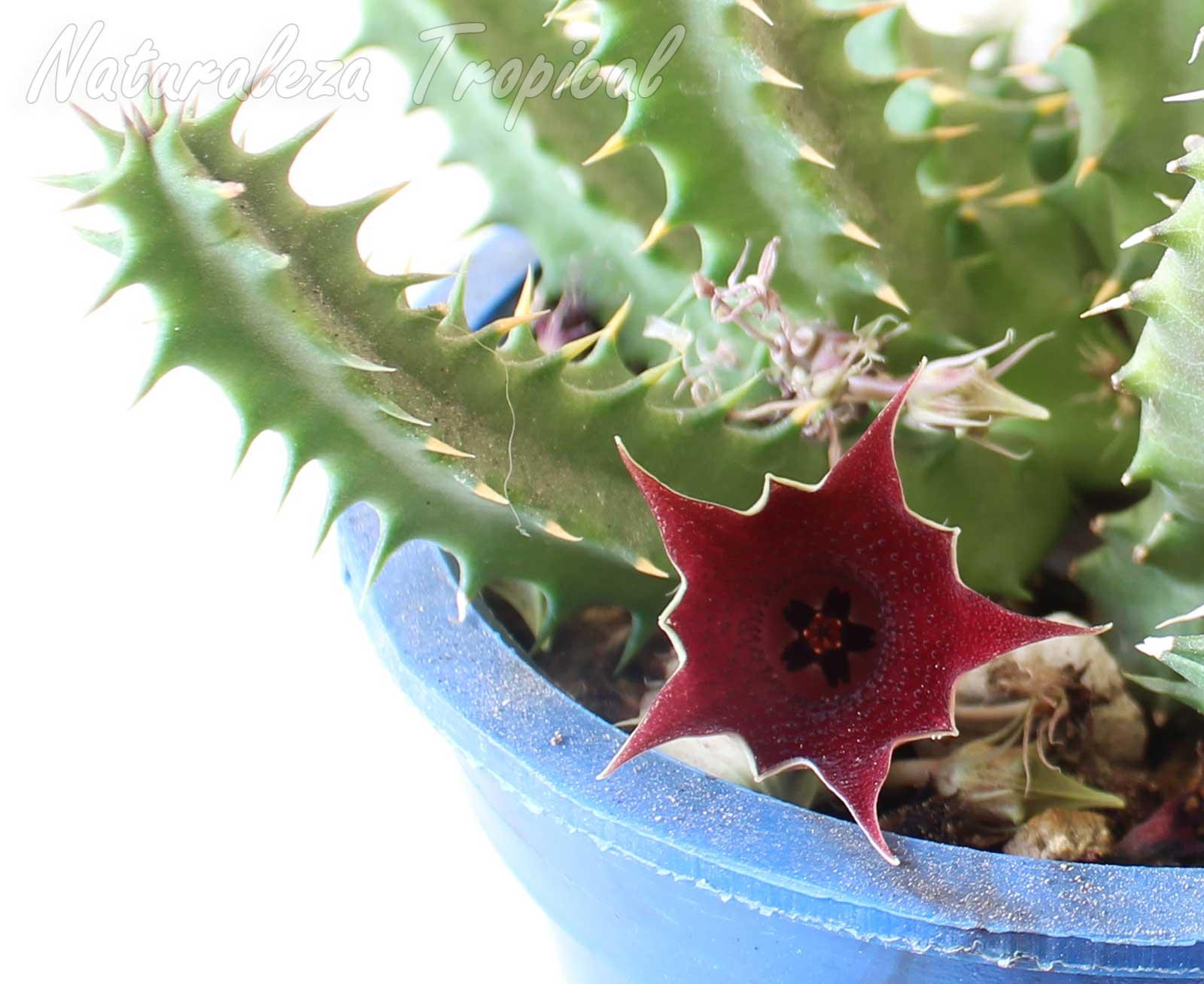 Detalles de la flor de la planta suculenta Huernia x keniensis