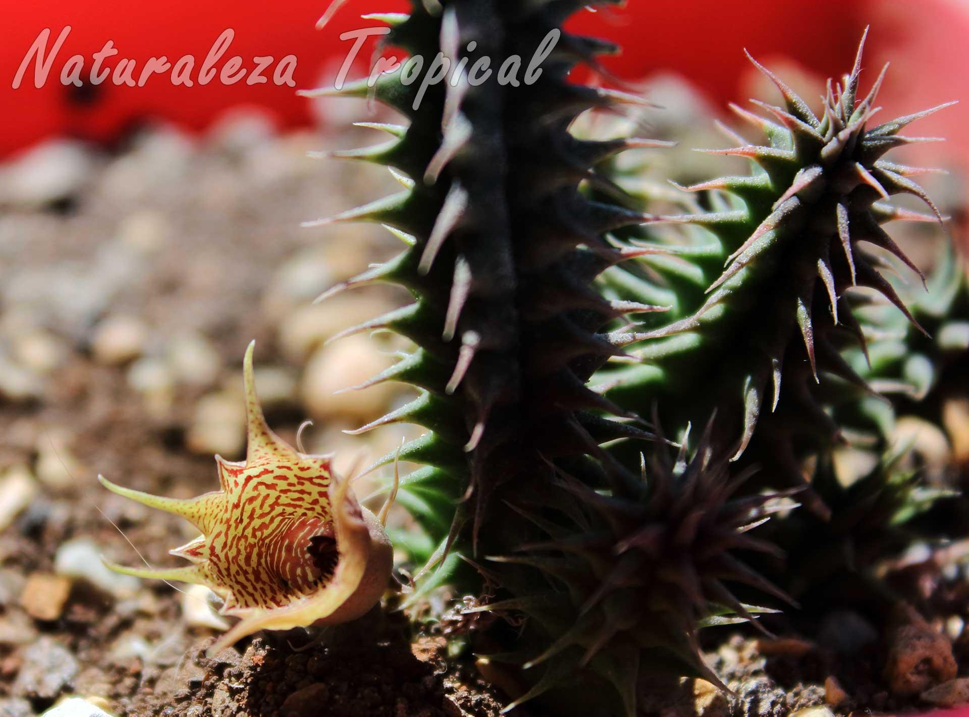 Flor de un híbrido del género Huernia desconocido