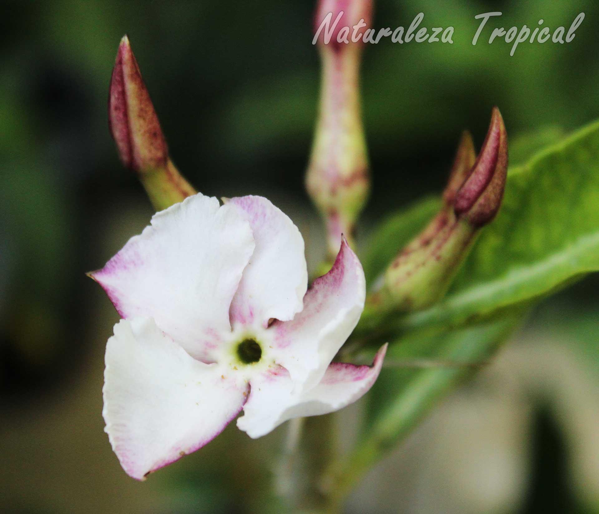 Flor típica de la planta suculenta Pachypodium lealii subs. saundersii