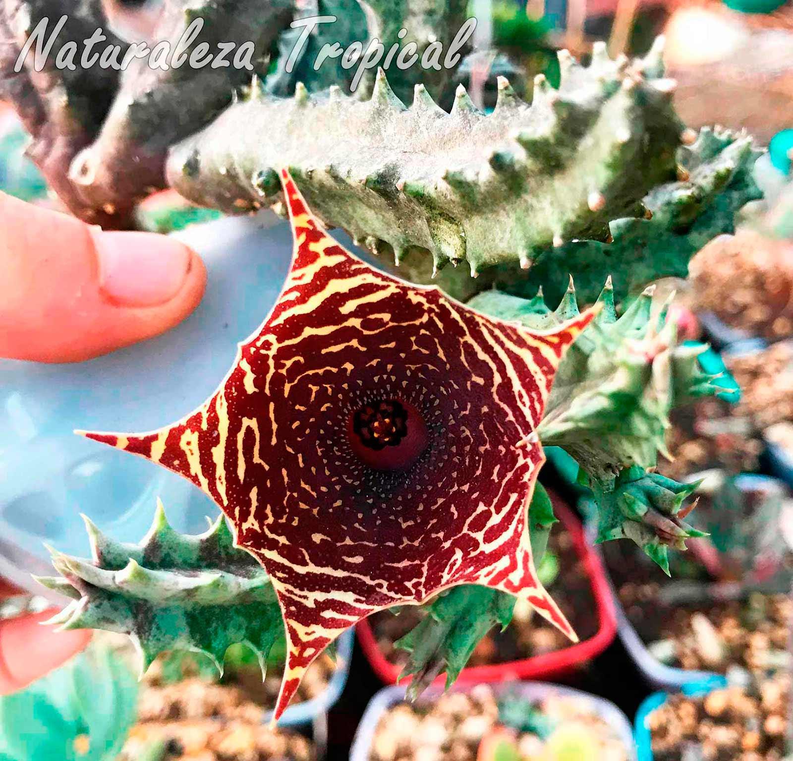 Flor y tallos del híbrido desconocido del género Huernia
