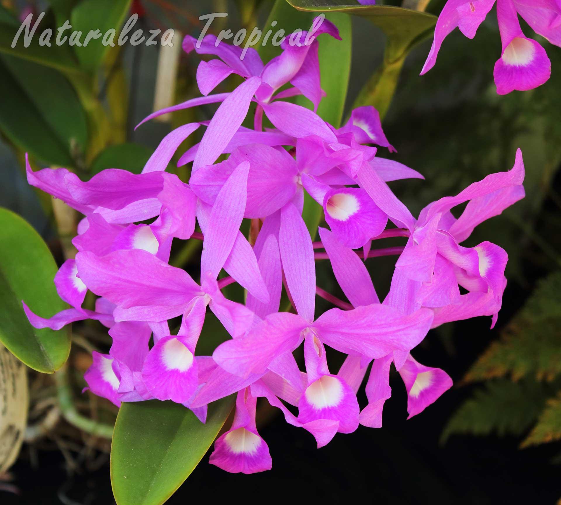 Flores características de la orquídea Guaria Morada, Guarianthe skinneri