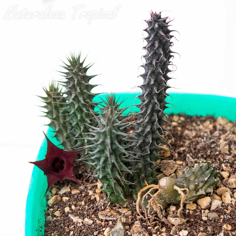 Tallos y flor de la planta suculenta Huernia x pillansii