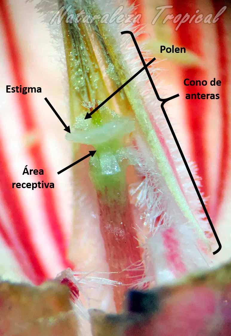 Estructura interna reproductora vista a detalle una flor de Rosa del Desierto, Adenium obesum