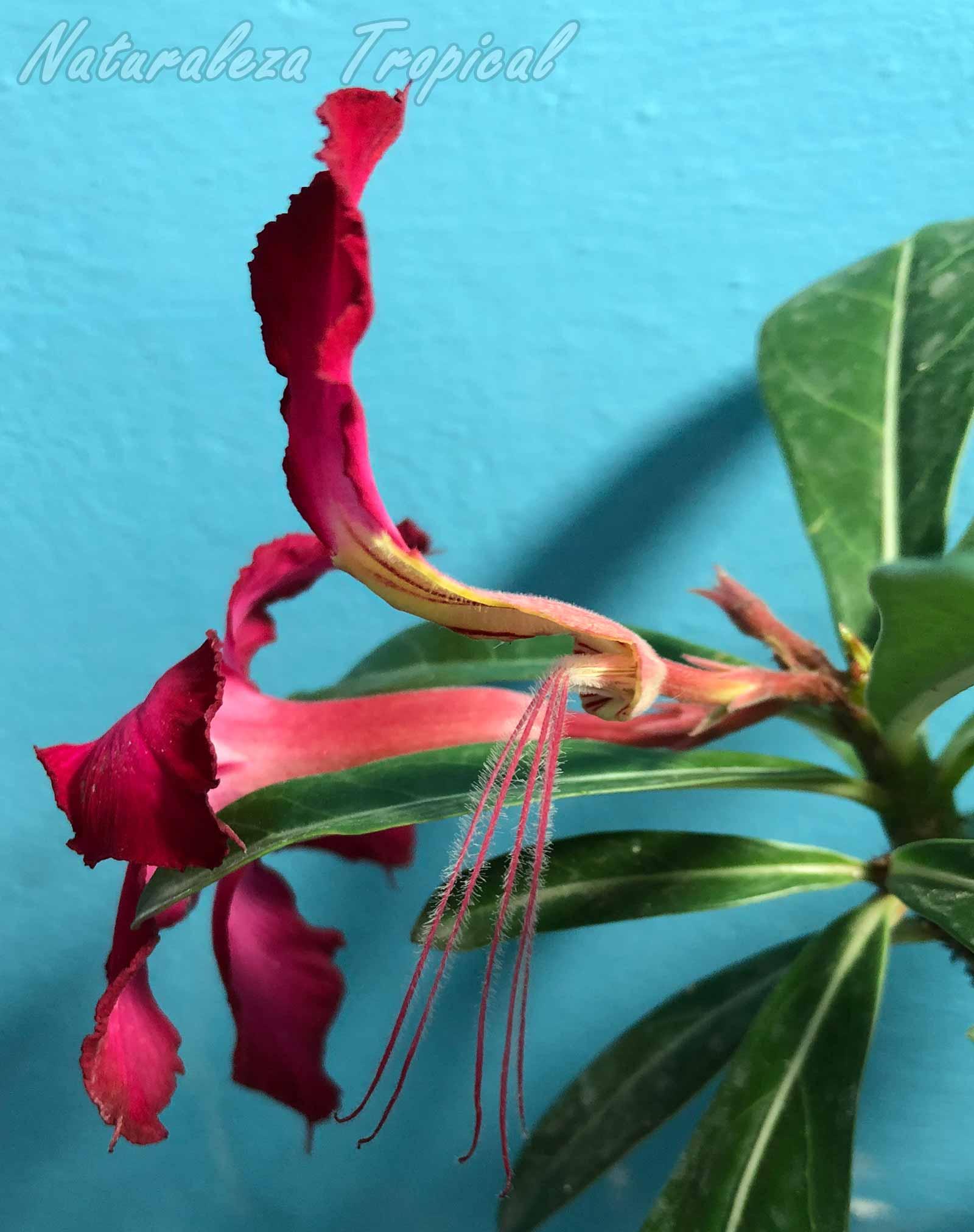Remoción de los 4 pétalos solo dejando del superior en una flor de Rosa del Desierto, Adenium obesum