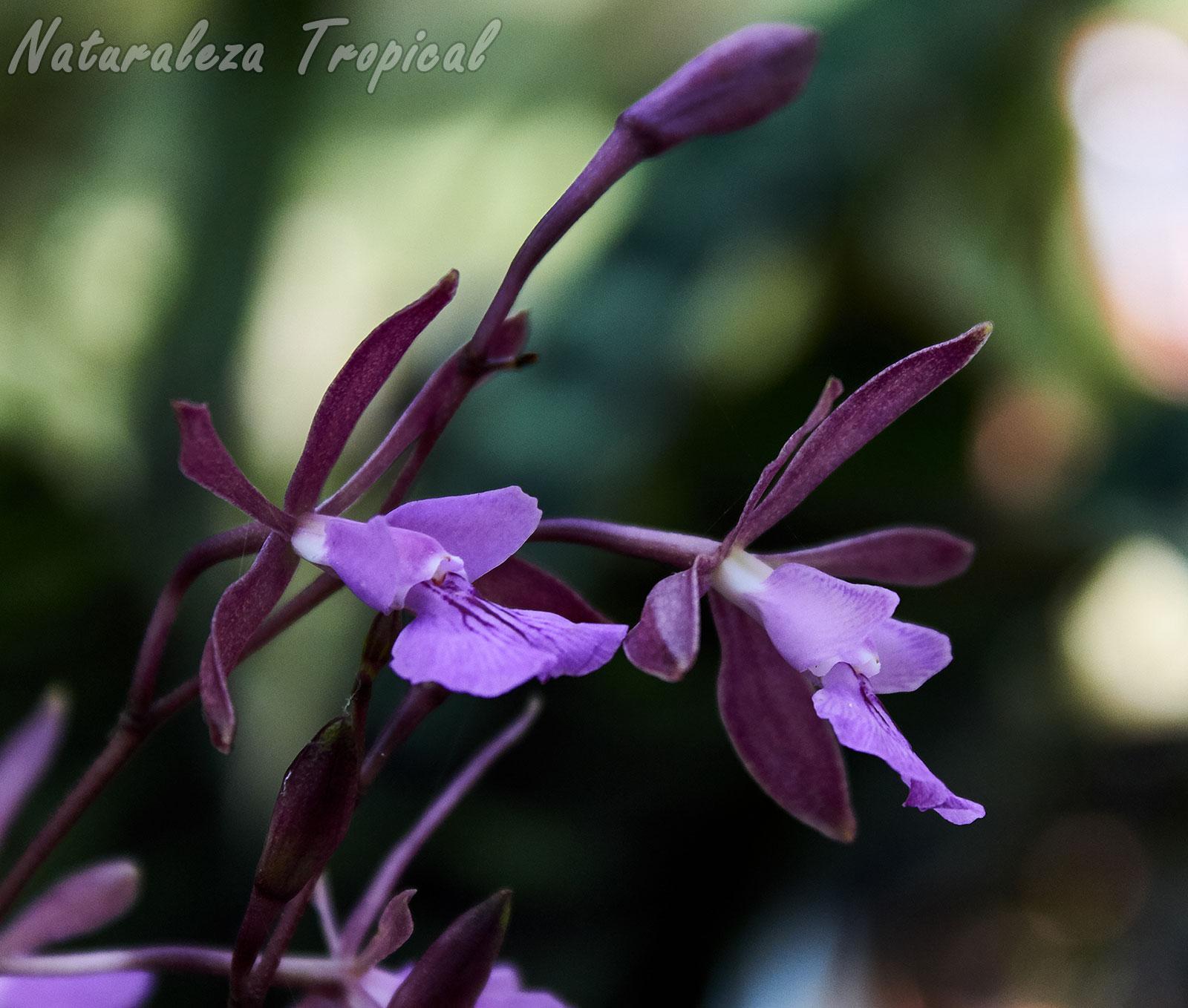 Flores típicas de la orquídea Encyclia moebusii