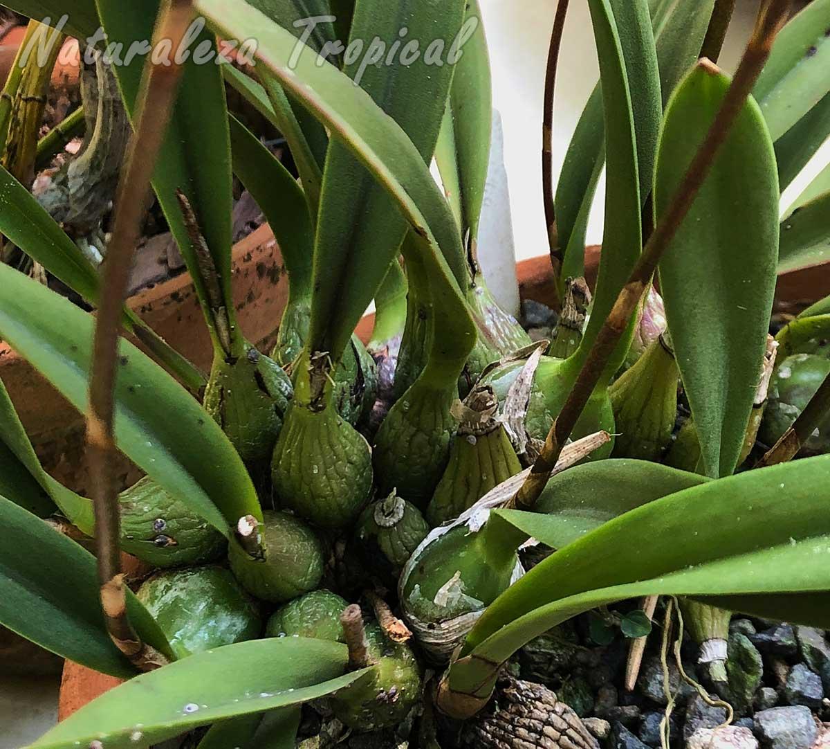 Vista de los pseudobulbos de la orquídea Encyclia moebusii