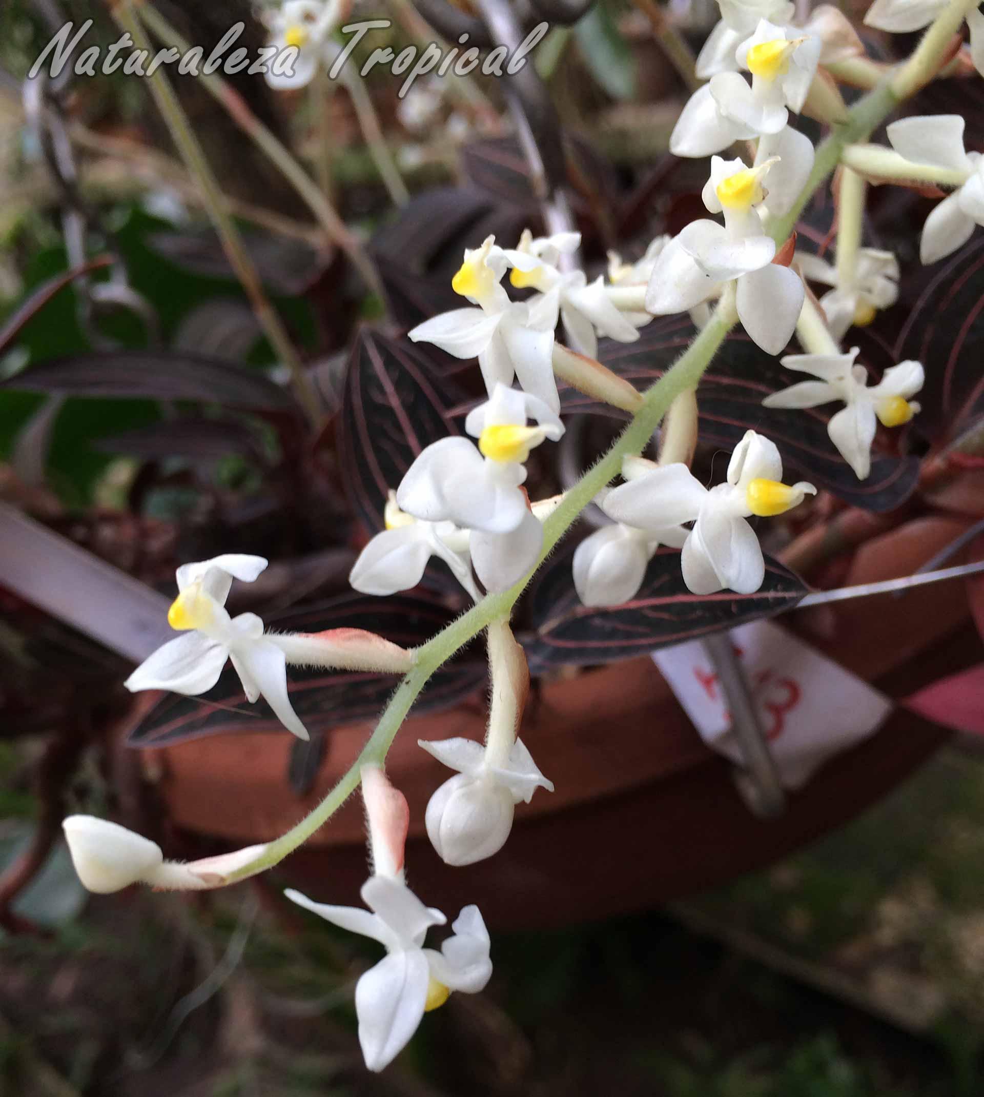 Flores de la orquídea Ludisia discolor