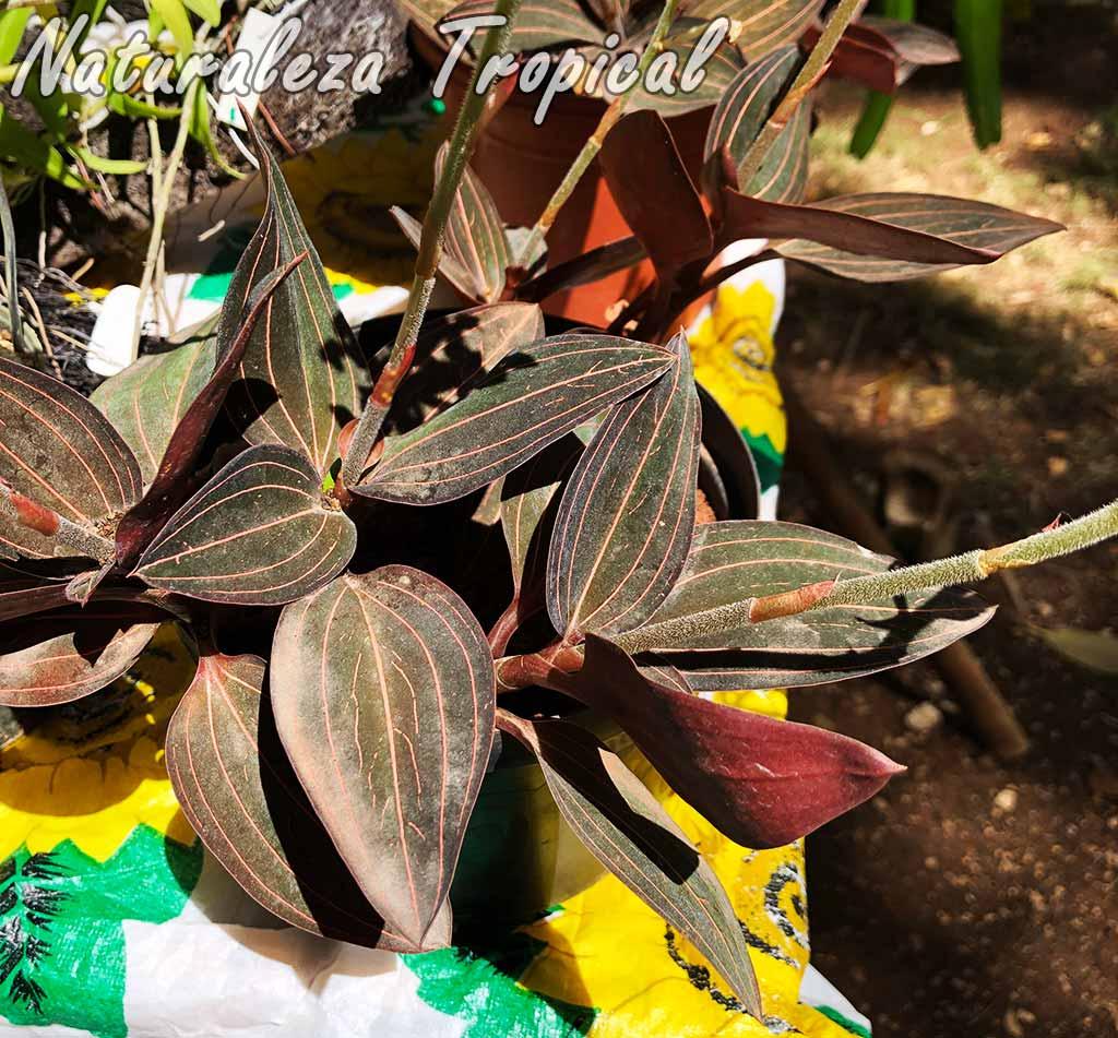 Hojas de la orquídea Ludisia discolor