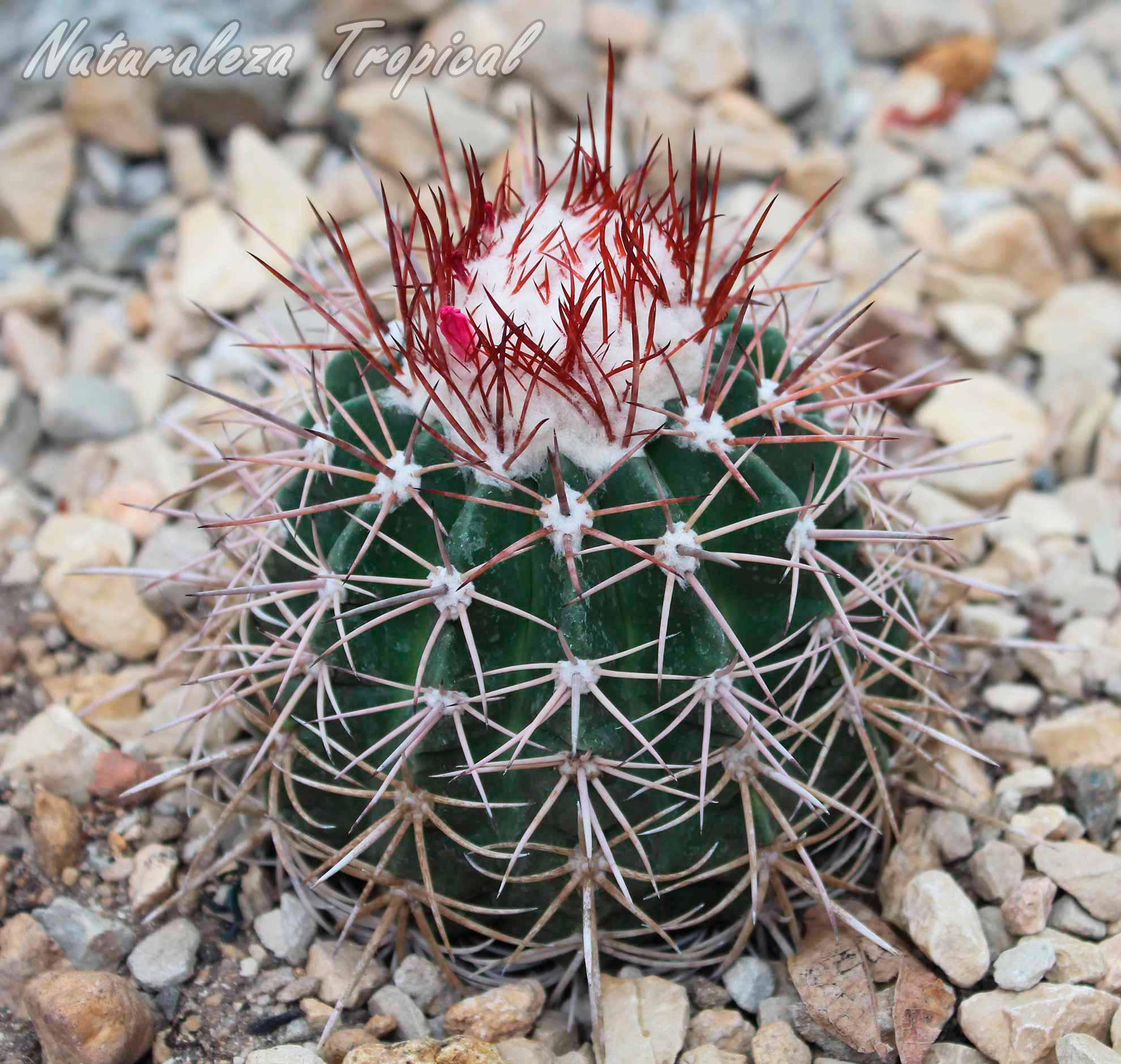 Vista del cactus cubano Melocactus guitartii