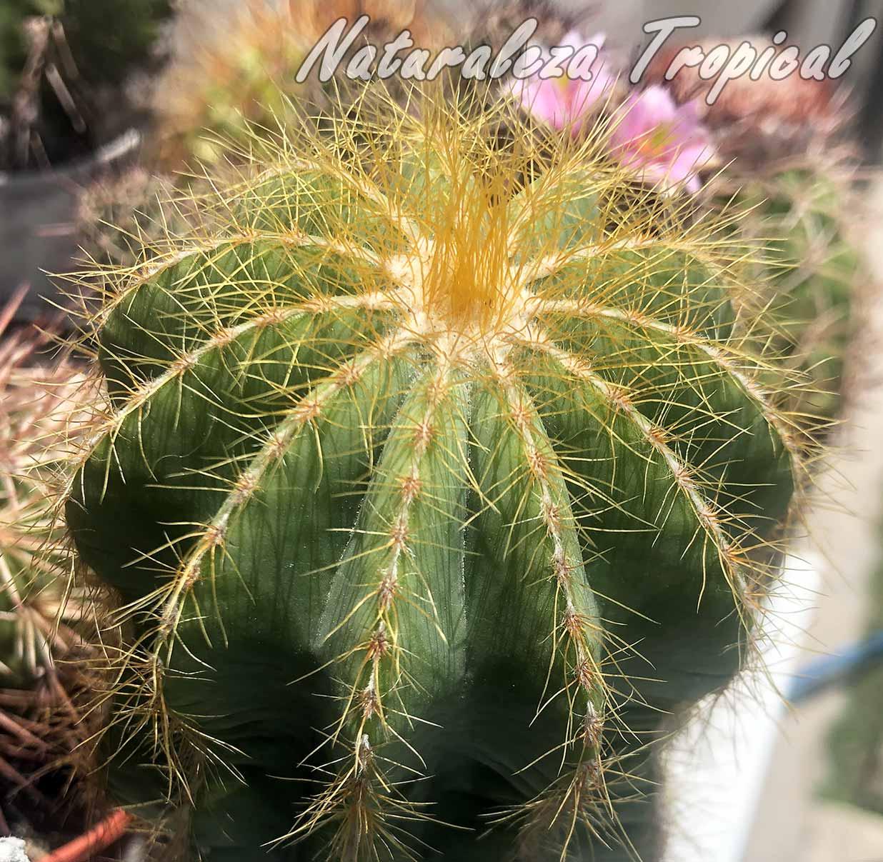 Vista del tallo del cactus Parodia magnifica