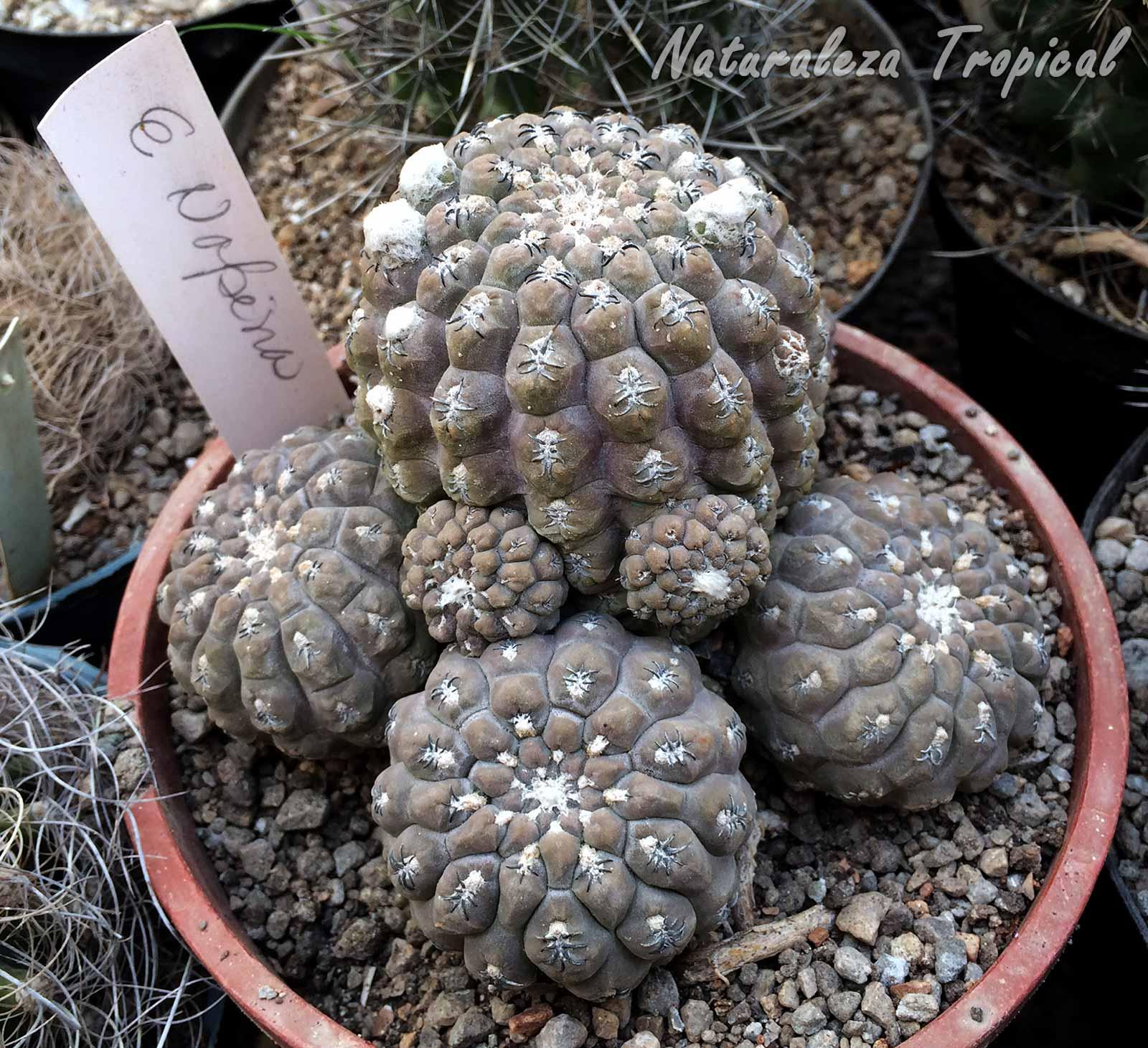 Vista de los tallos del cactus Eriosyce napina