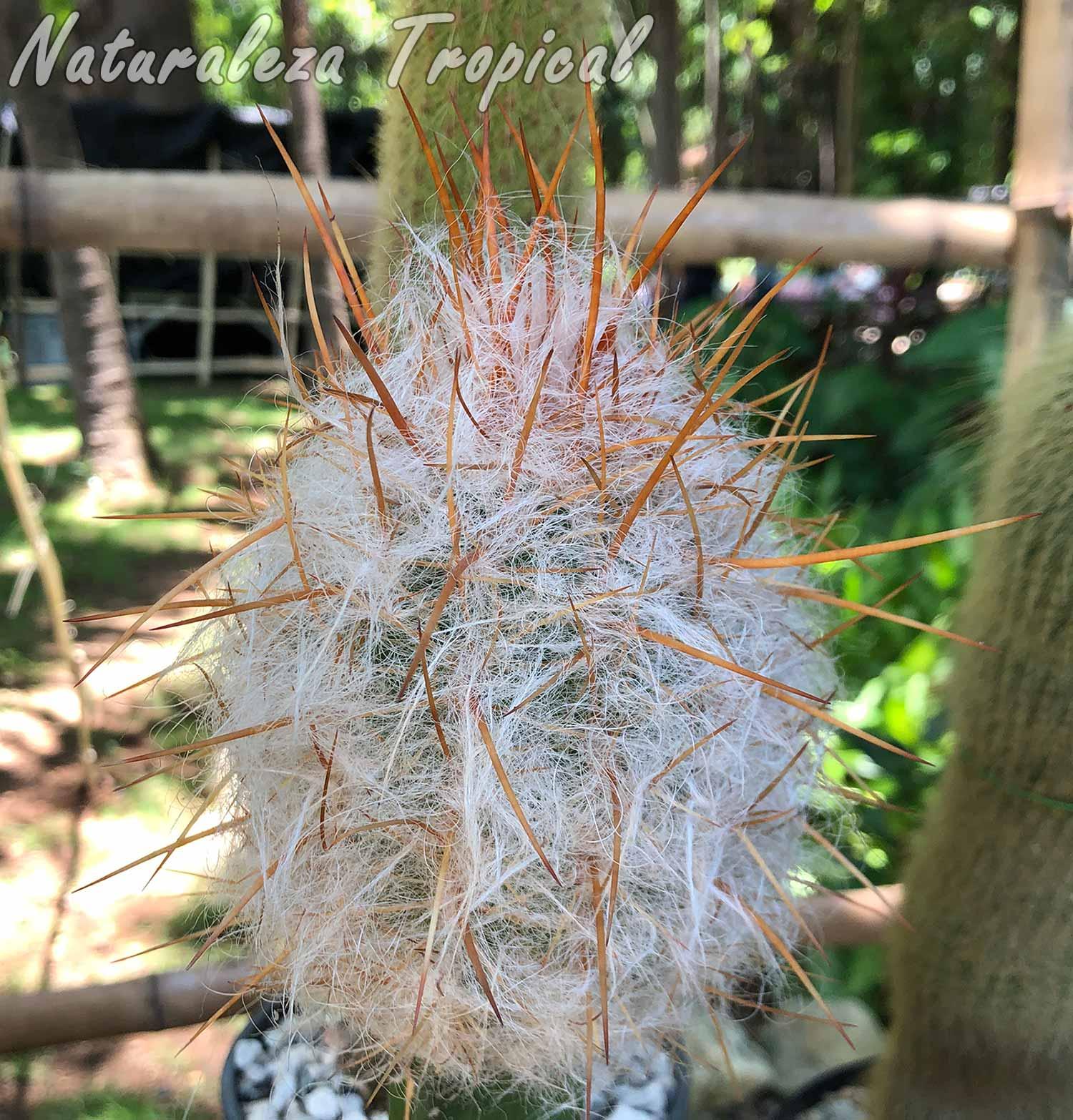 Vista de un cactus del género Oreocereus
