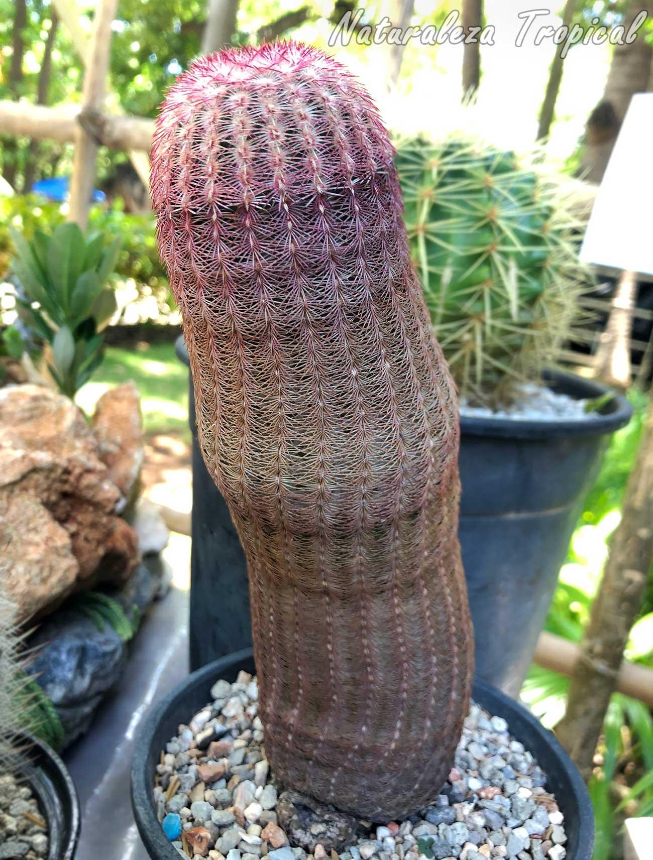 Vista del tallo del cactus ornamental Echinocereus rigidissimus