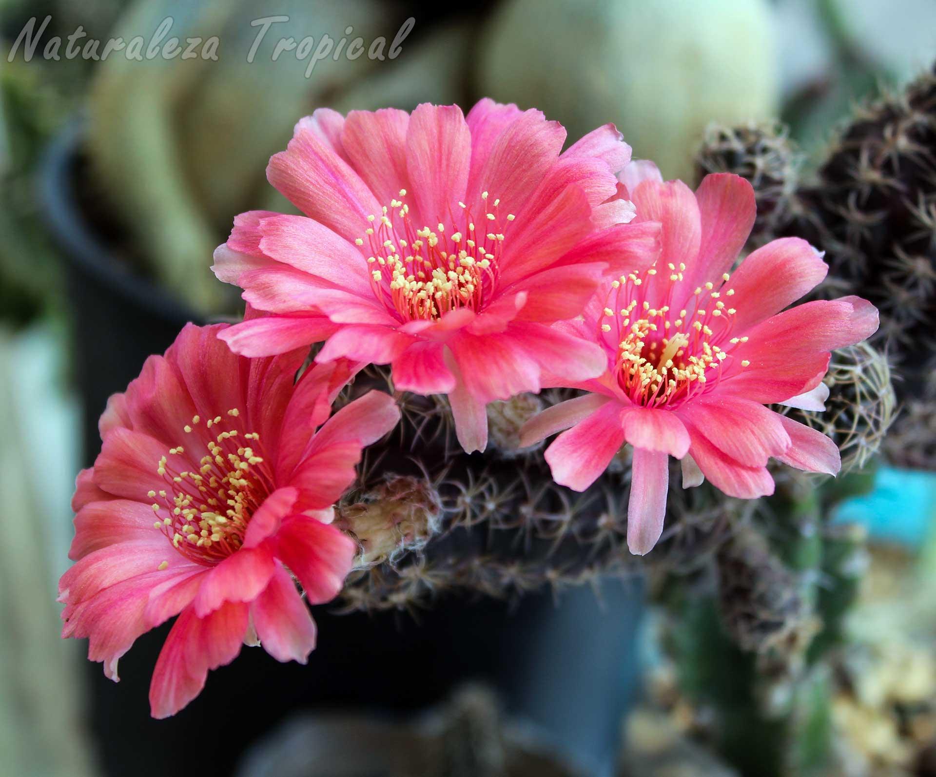 Floración del cactus híbrido del género Echinopsis