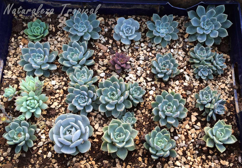 Bandeja reciclada para la multiplicación de suculentas, en este caso pertenecientes a la familia Crassulaceae