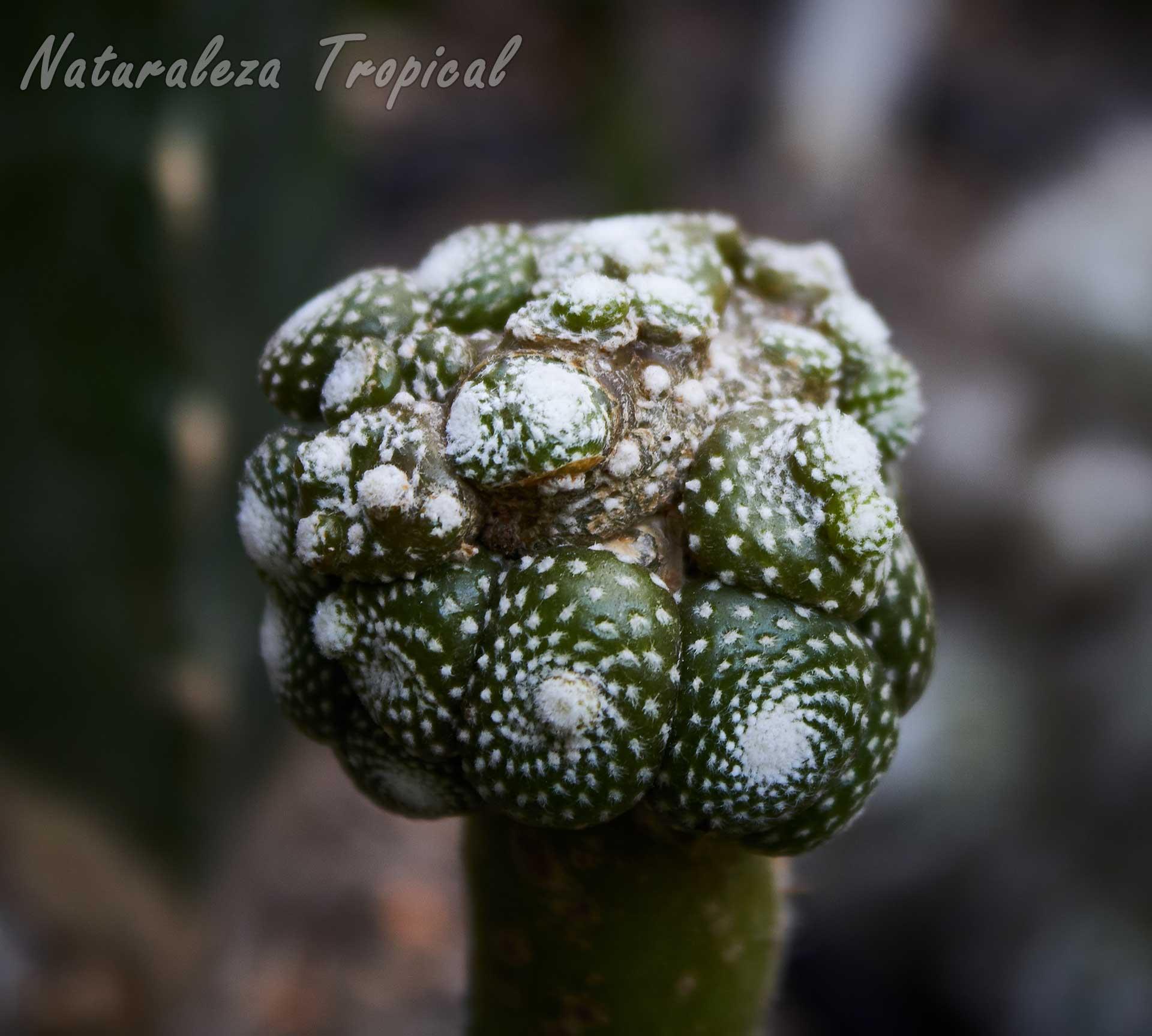 Vista de una pequeña colonia del cactus Blossfeldia liliputana (injerto)