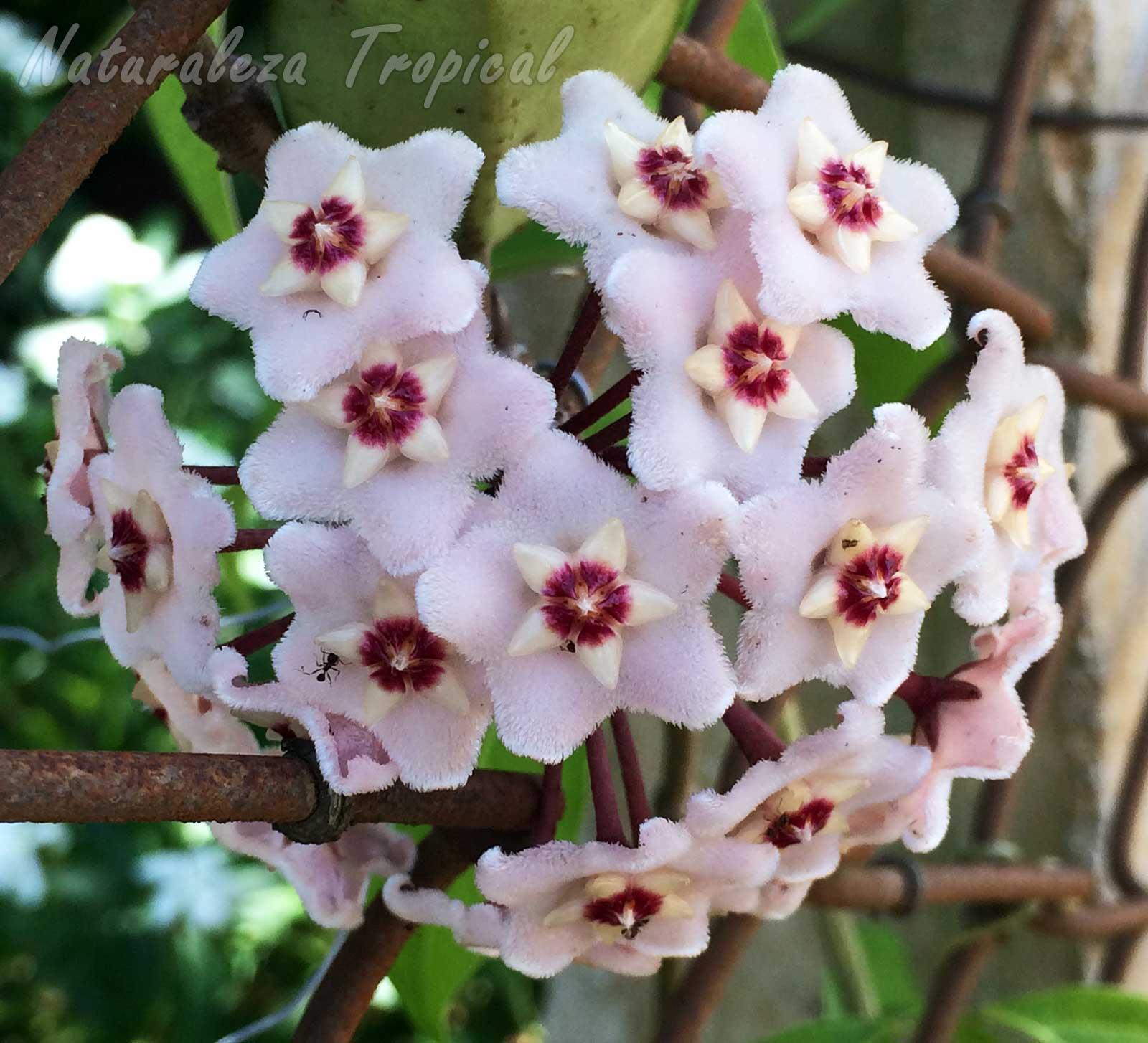 Inflorescencia típica con numerosas flores de la Flor de Cera, Hoya carnosa