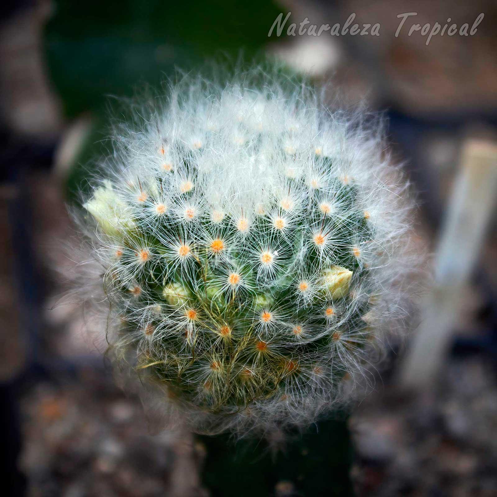 Fotografía del tallo del cactus Mammillaria albicoma con botones florales
