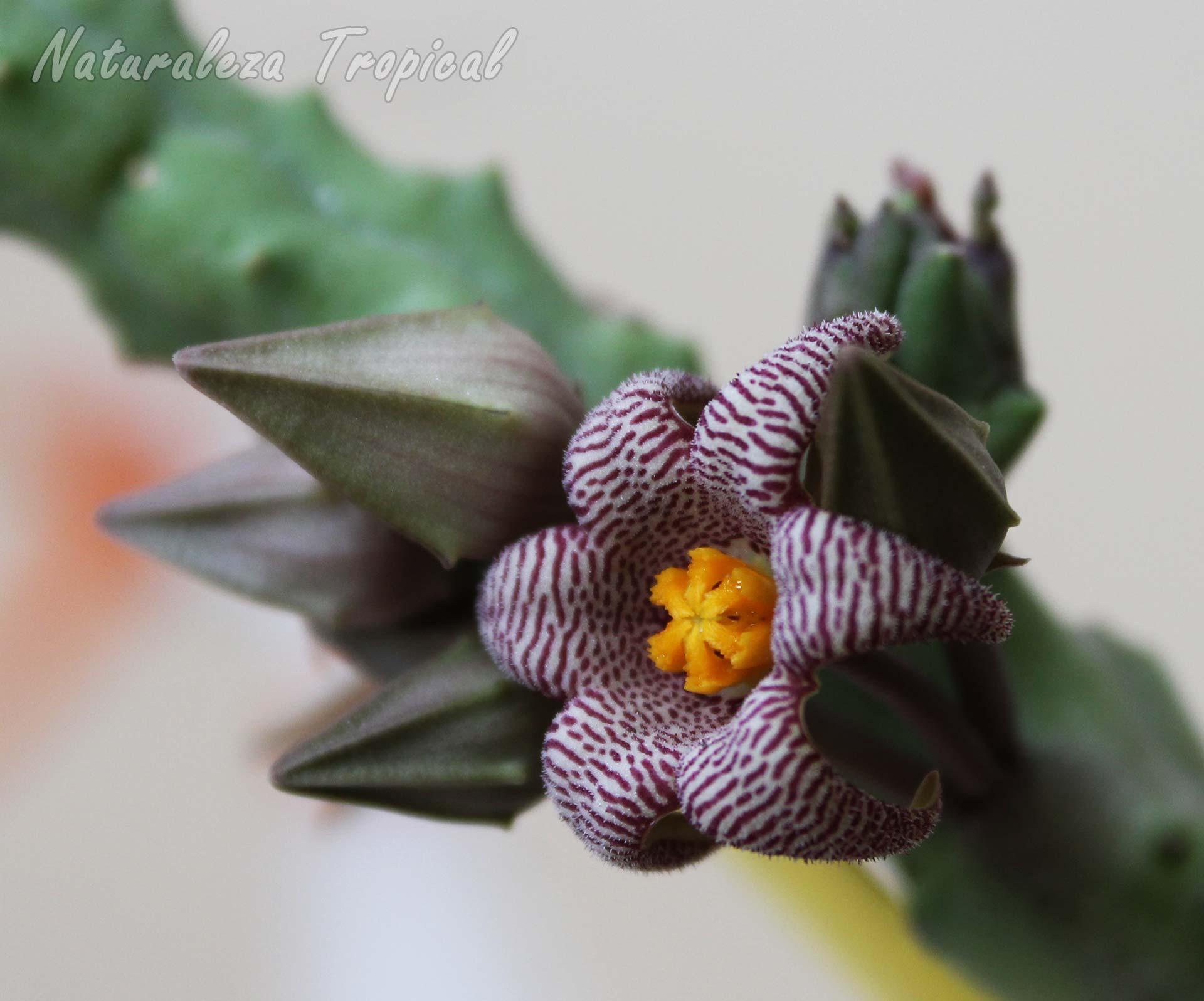 Ejemplar de Piaranthus punctatus con flor de 6 pétalos