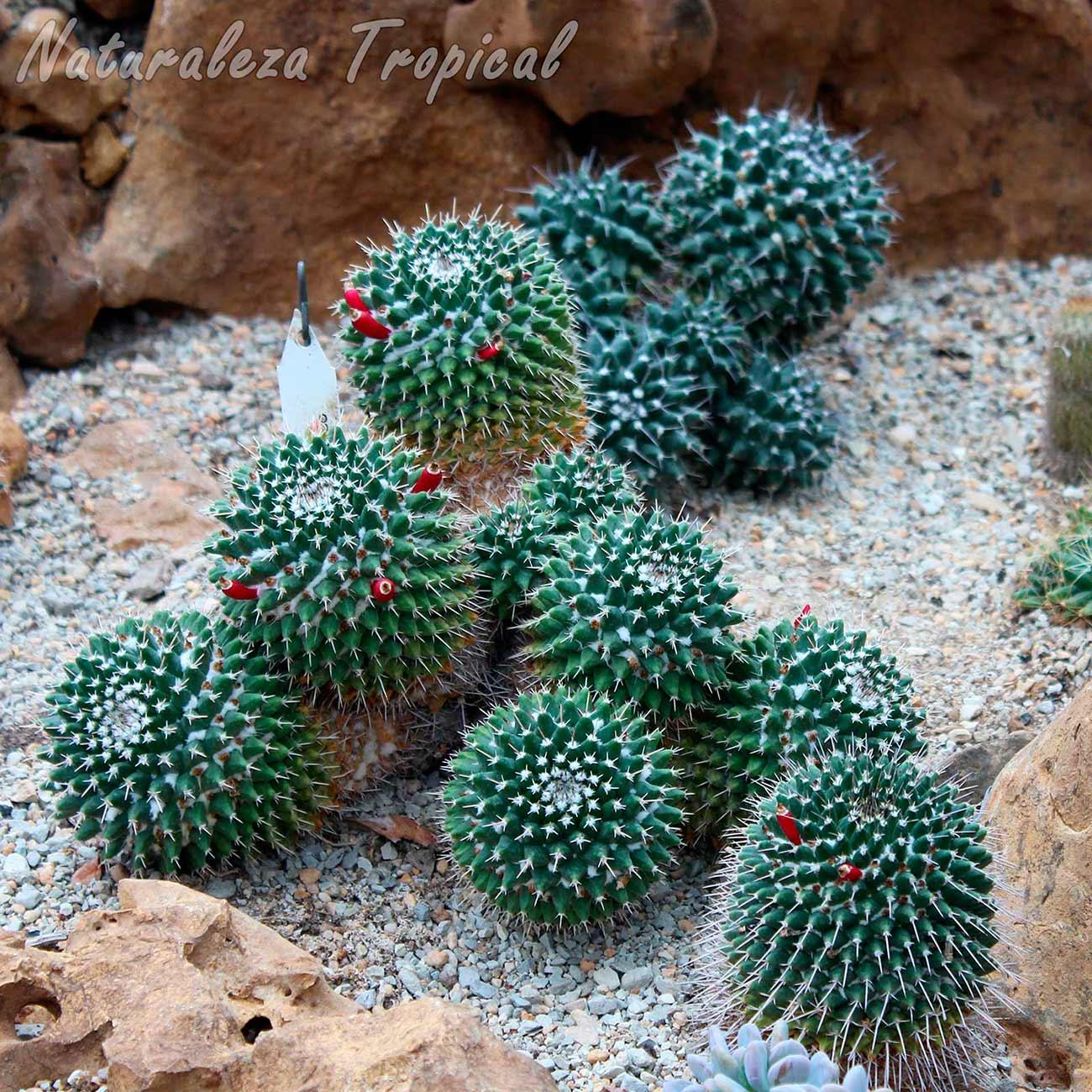 Cactus del género Mammillaria creciendo en un xerojardín
