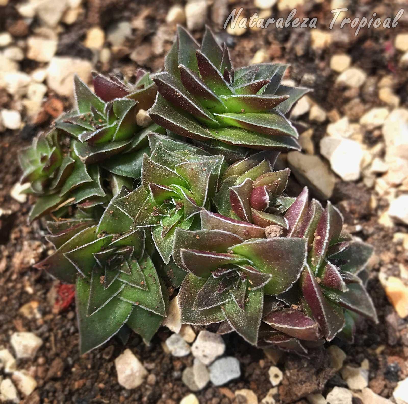 Vista de una de las tantas variedades de la planta suculenta Crassula capitella subsp. thyrsiflora