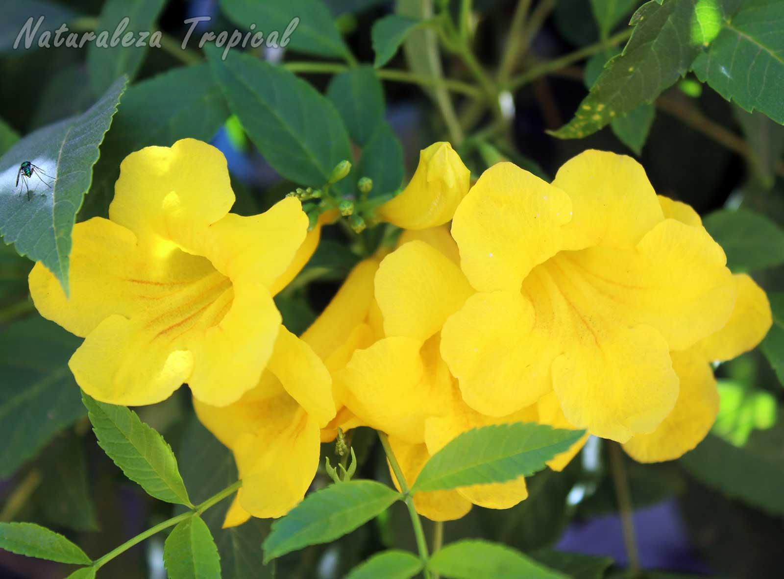 Flores características de la Bignonia amarilla, Tecoma stans