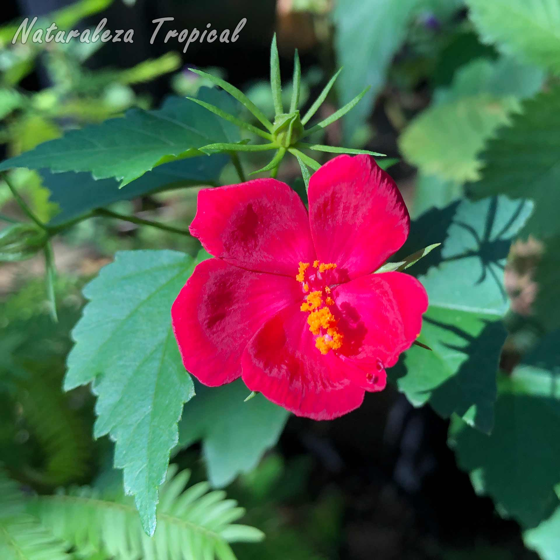Vista de la flor y hojas de la planta ornamental conocida como Peregrina de Cuba o Amapolilla, Hibiscus phoeniceus