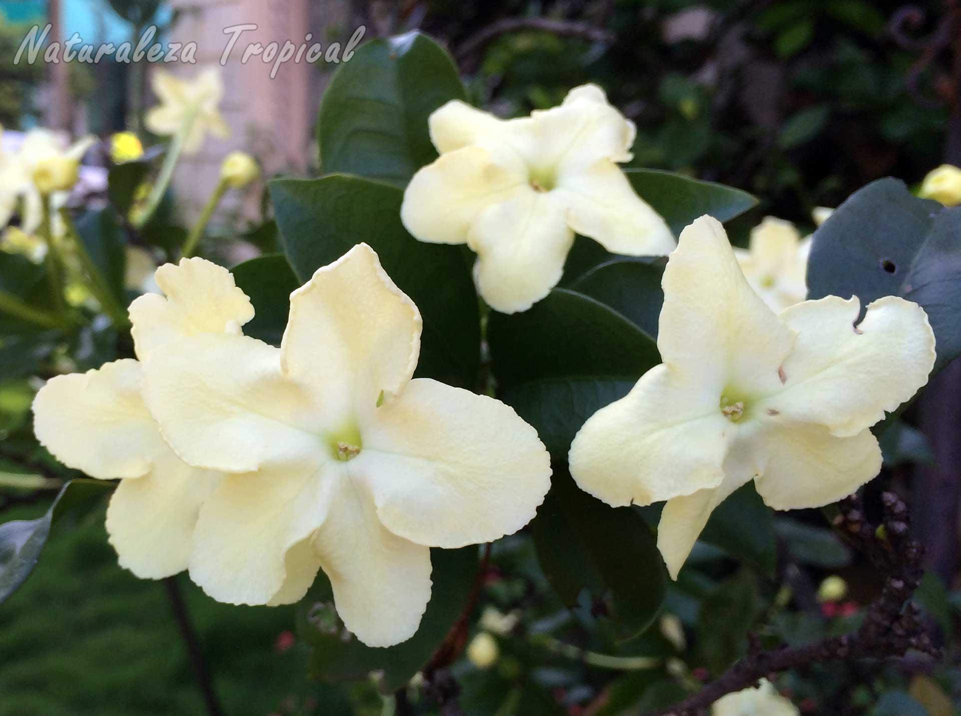 Flores de una especie ampliamente cultivada como planta ornamental del género Brunfelsia