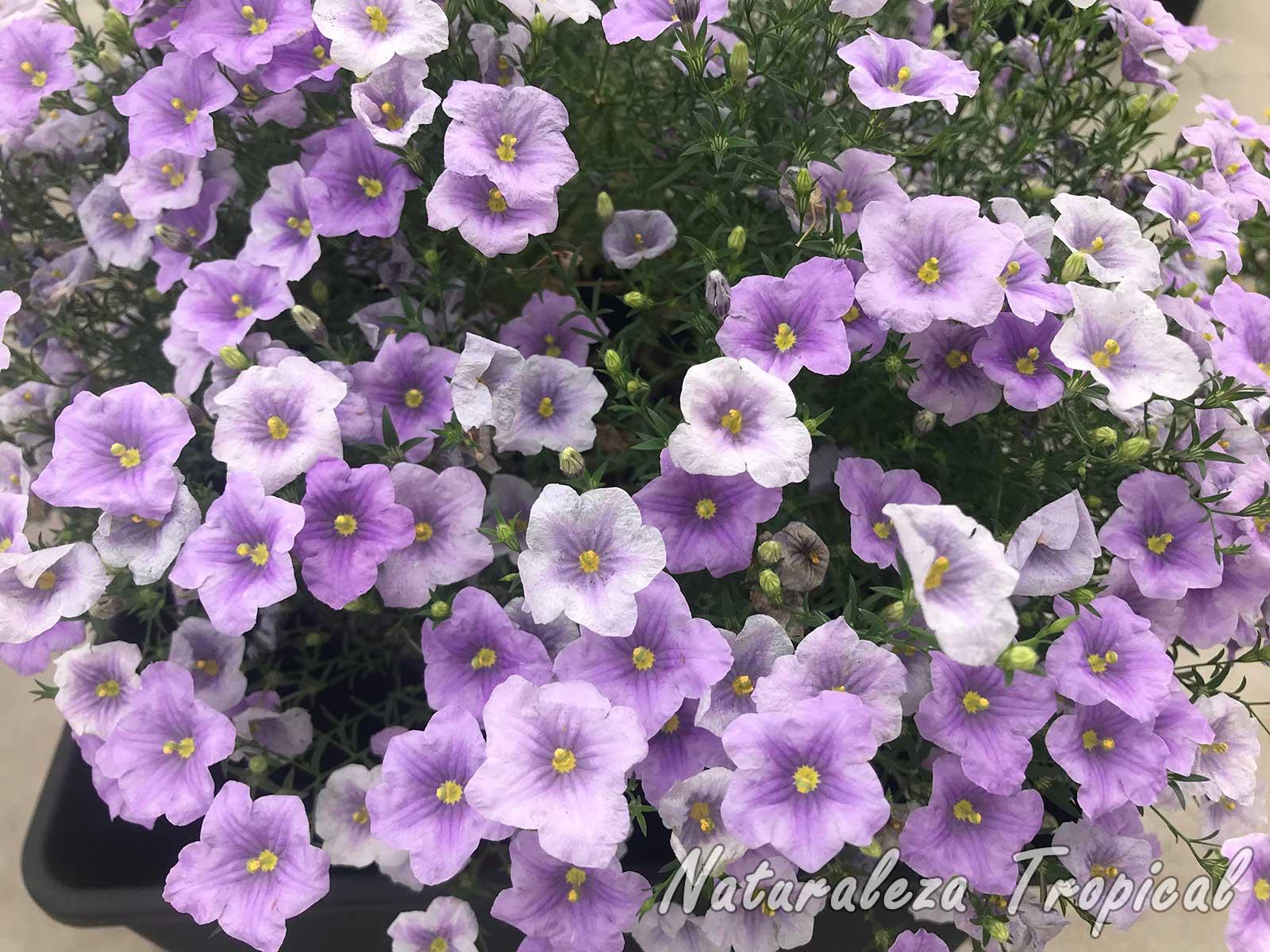 Variedad mejorada genéticamente de una planta del género Nierembergia