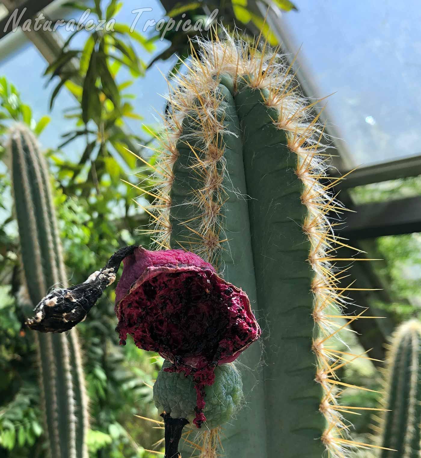 Tallo y fruto ya maduro exponiendo las semillas del cactus Pilosocereus polygonus