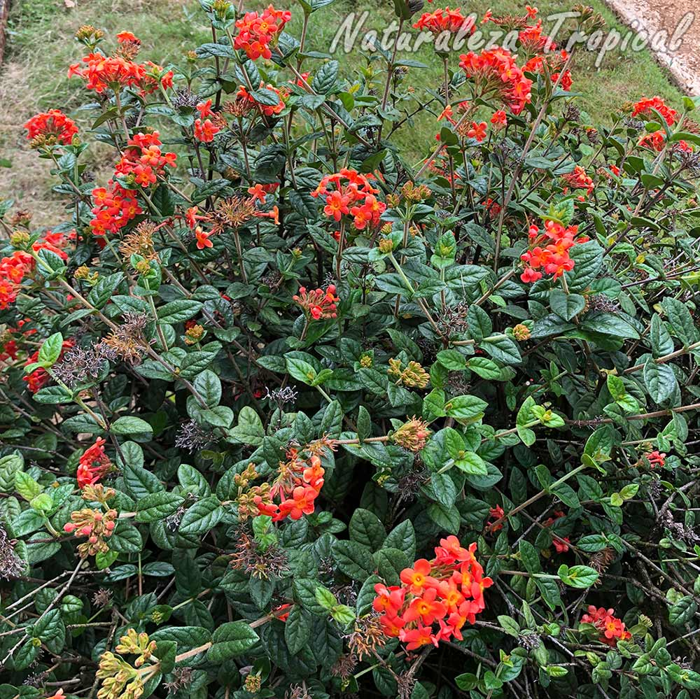 Vista de la planta arbustiva cubana conocida como Clavellina, Rondeletia odorata