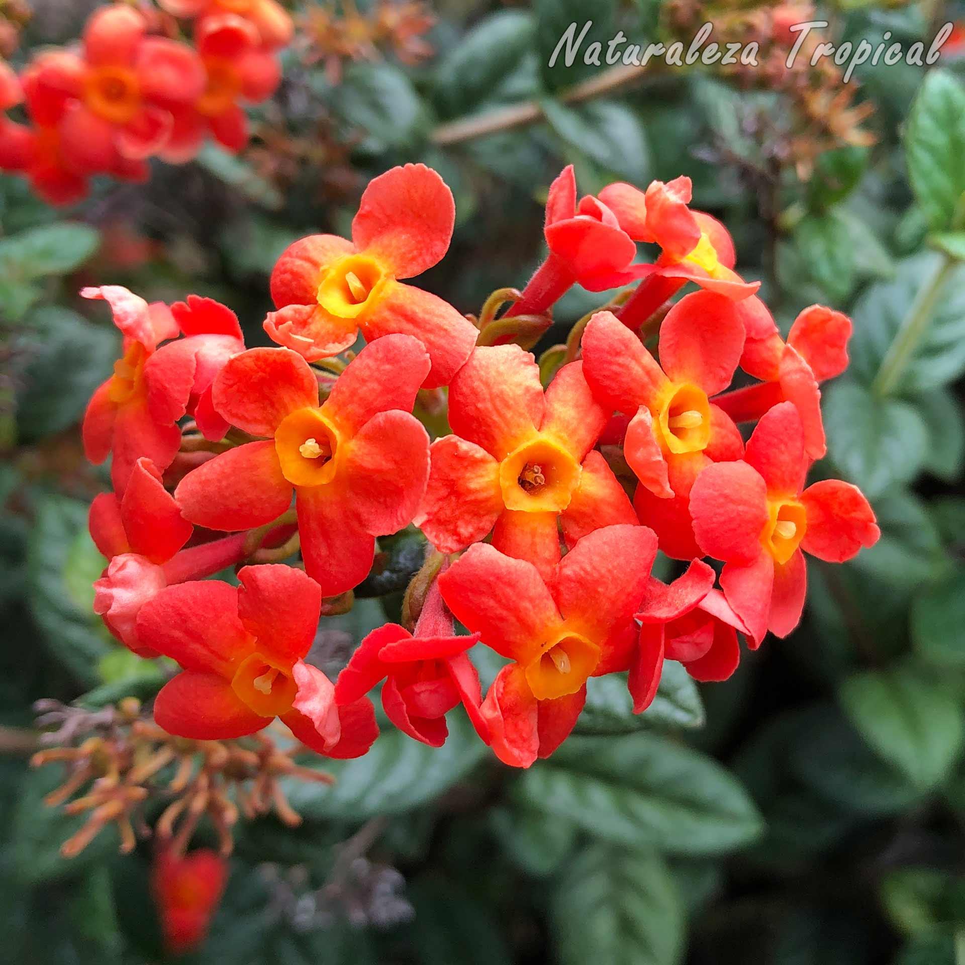 Flores características de la planta cubana conocida como Clavellina, Rondeletia odorata